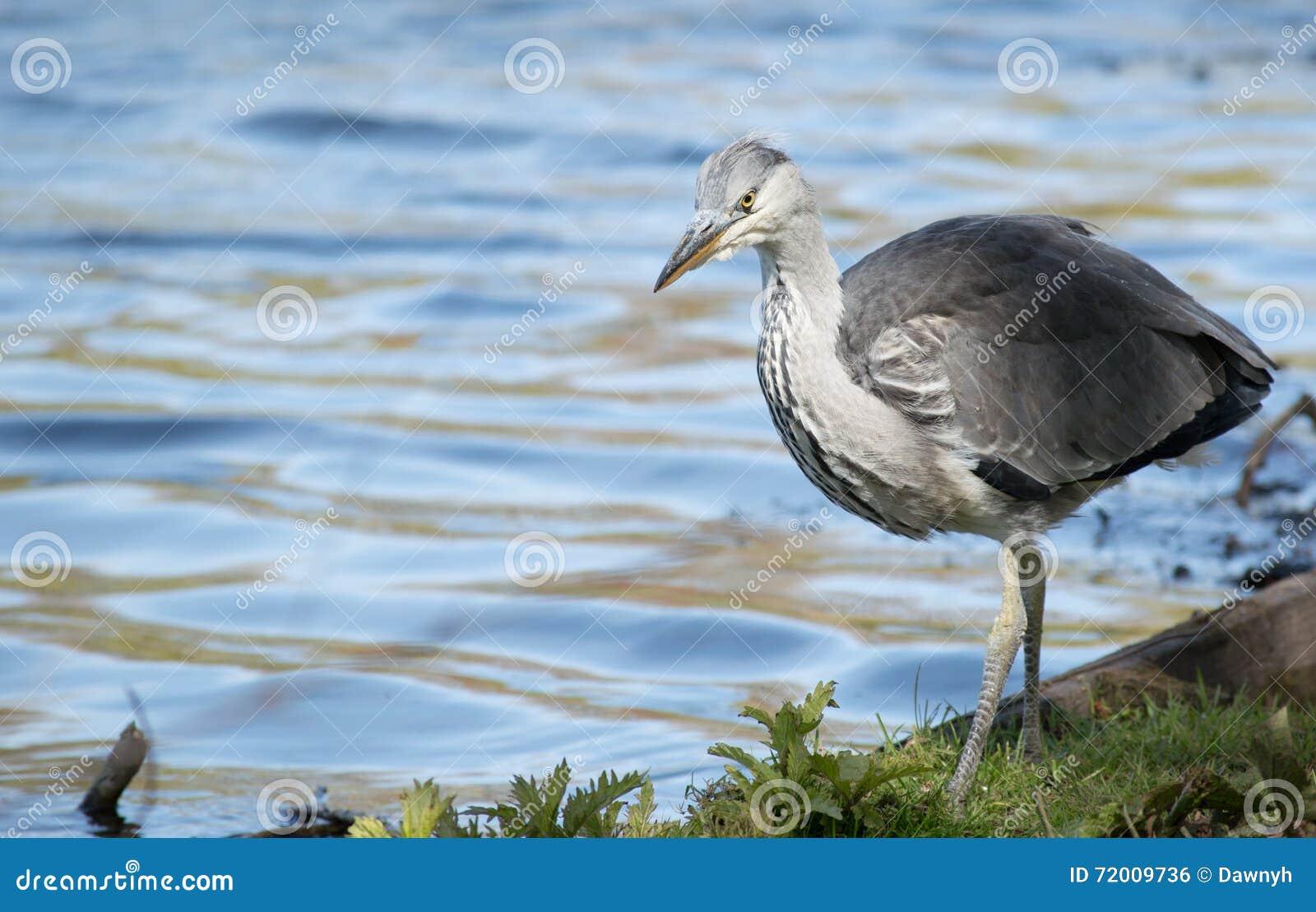 Jonge Reigervogel