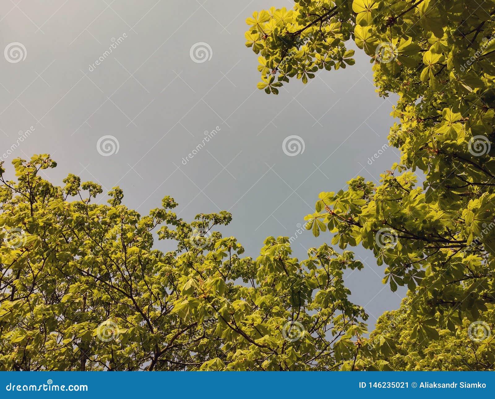 Jonge spruiten van kastanje tegen de blauwe hemel