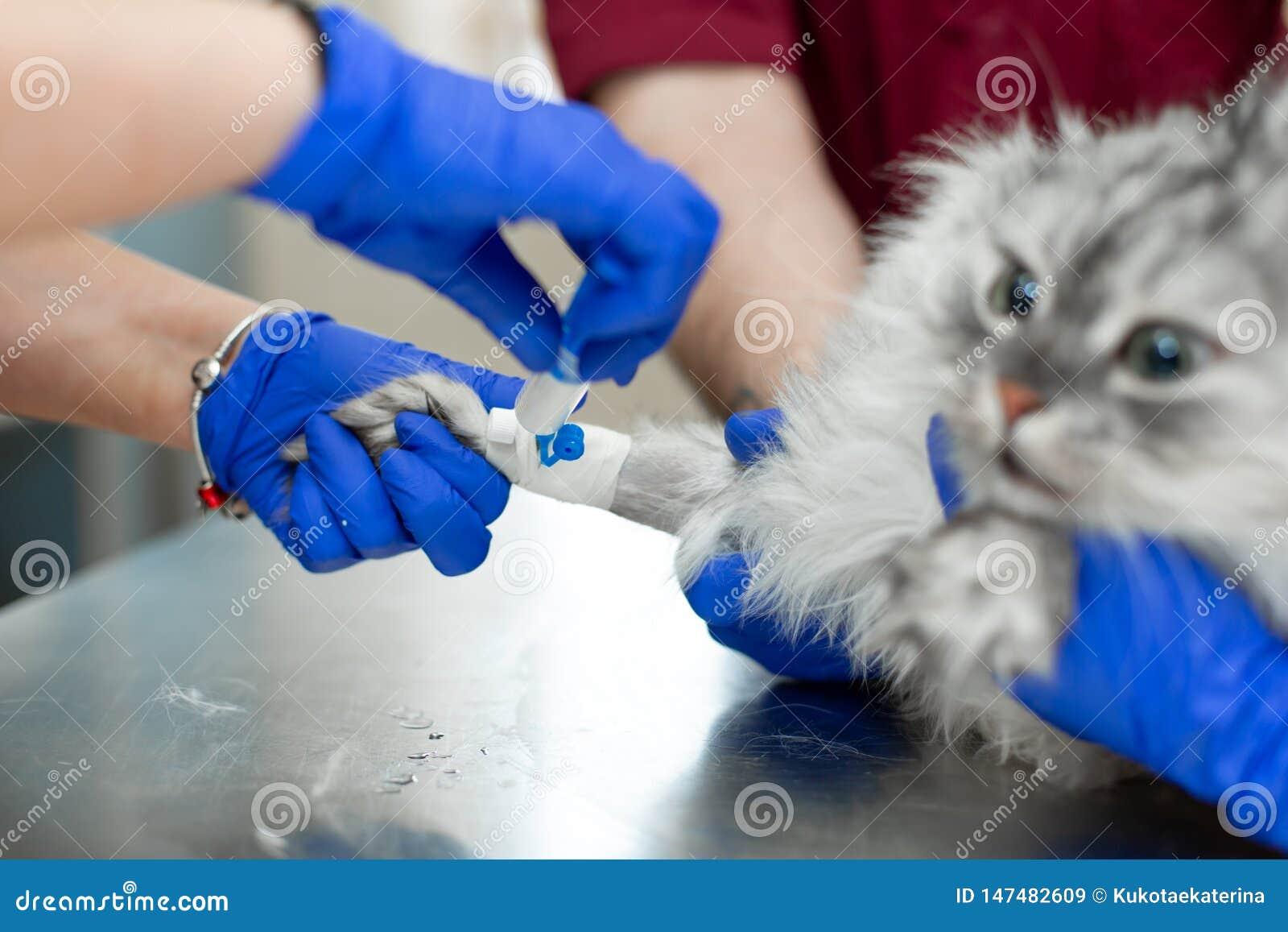 Jonge vrouwelijke anesthetist, een dierenarts, neemt een catheter in de kat op en voert anesthesie v??r chirurgie uit De medewerk