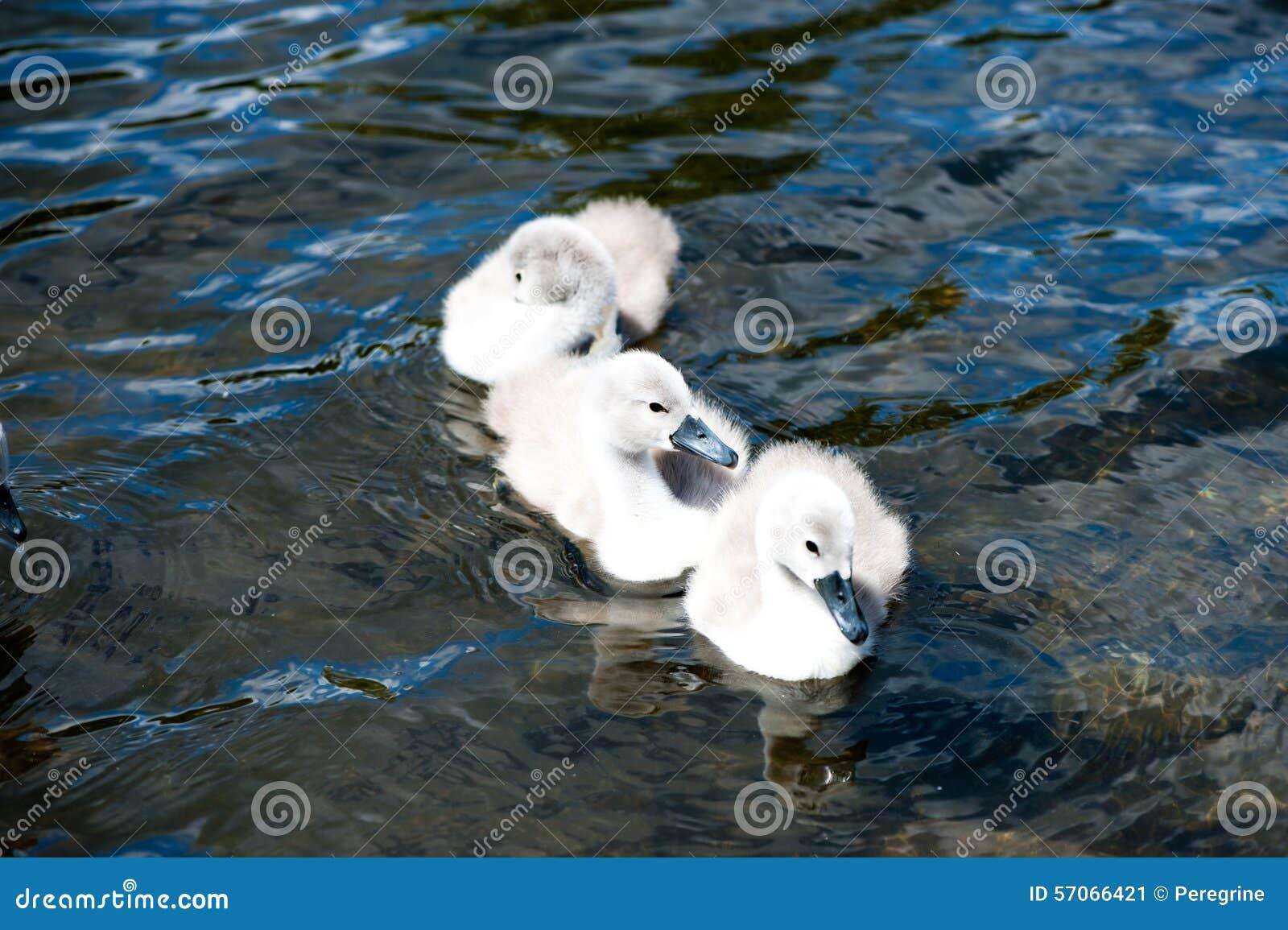 Jonge zwaan drie