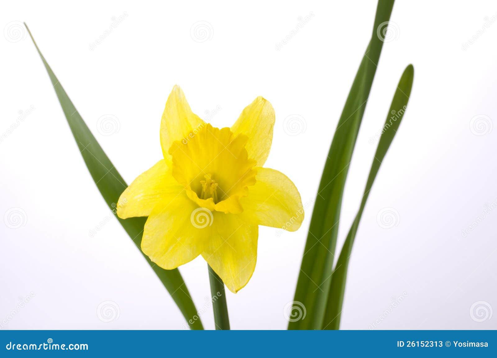 Jonquil Flower Stock s Image