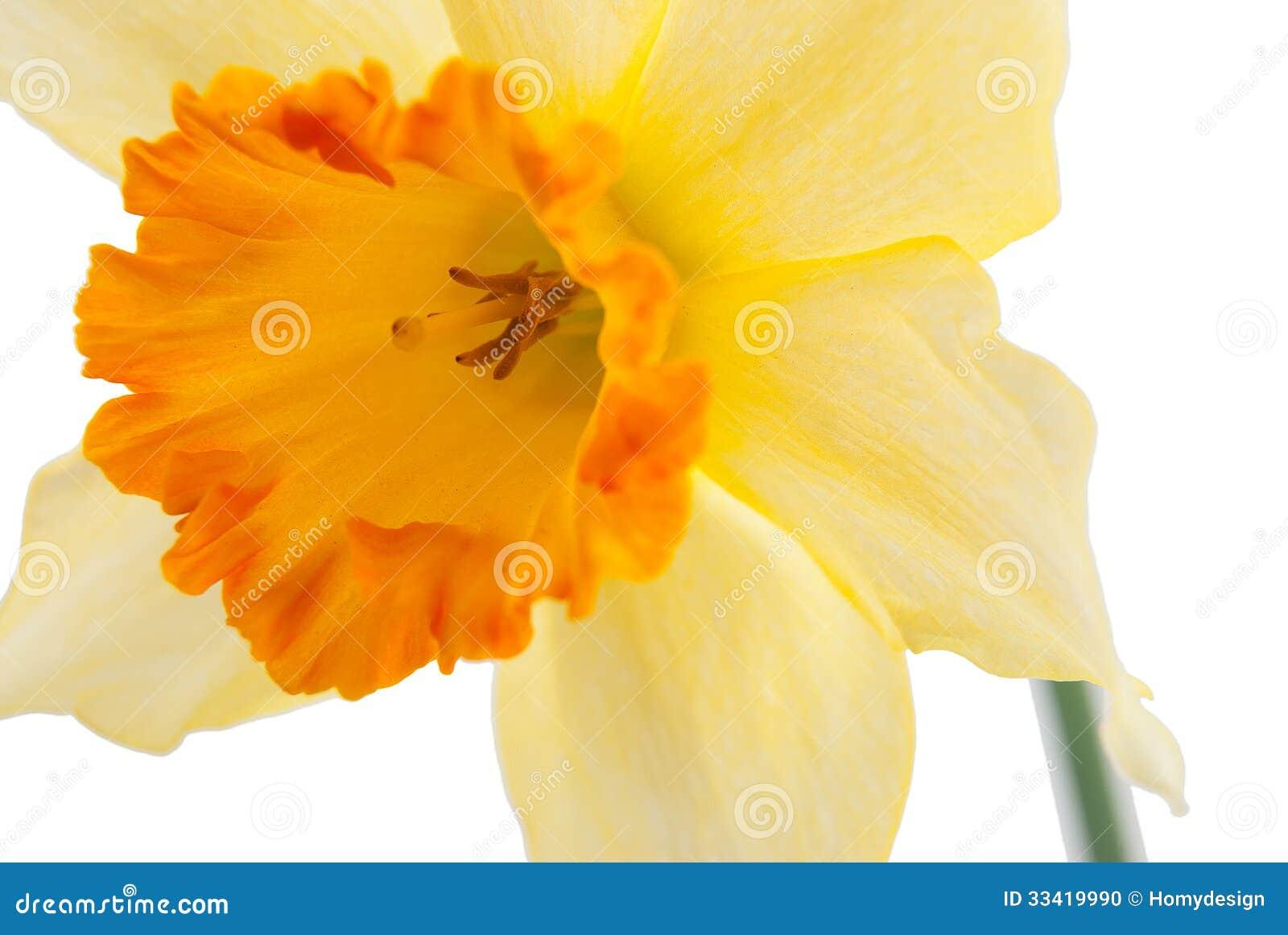 Jonquil Flower Stock Image