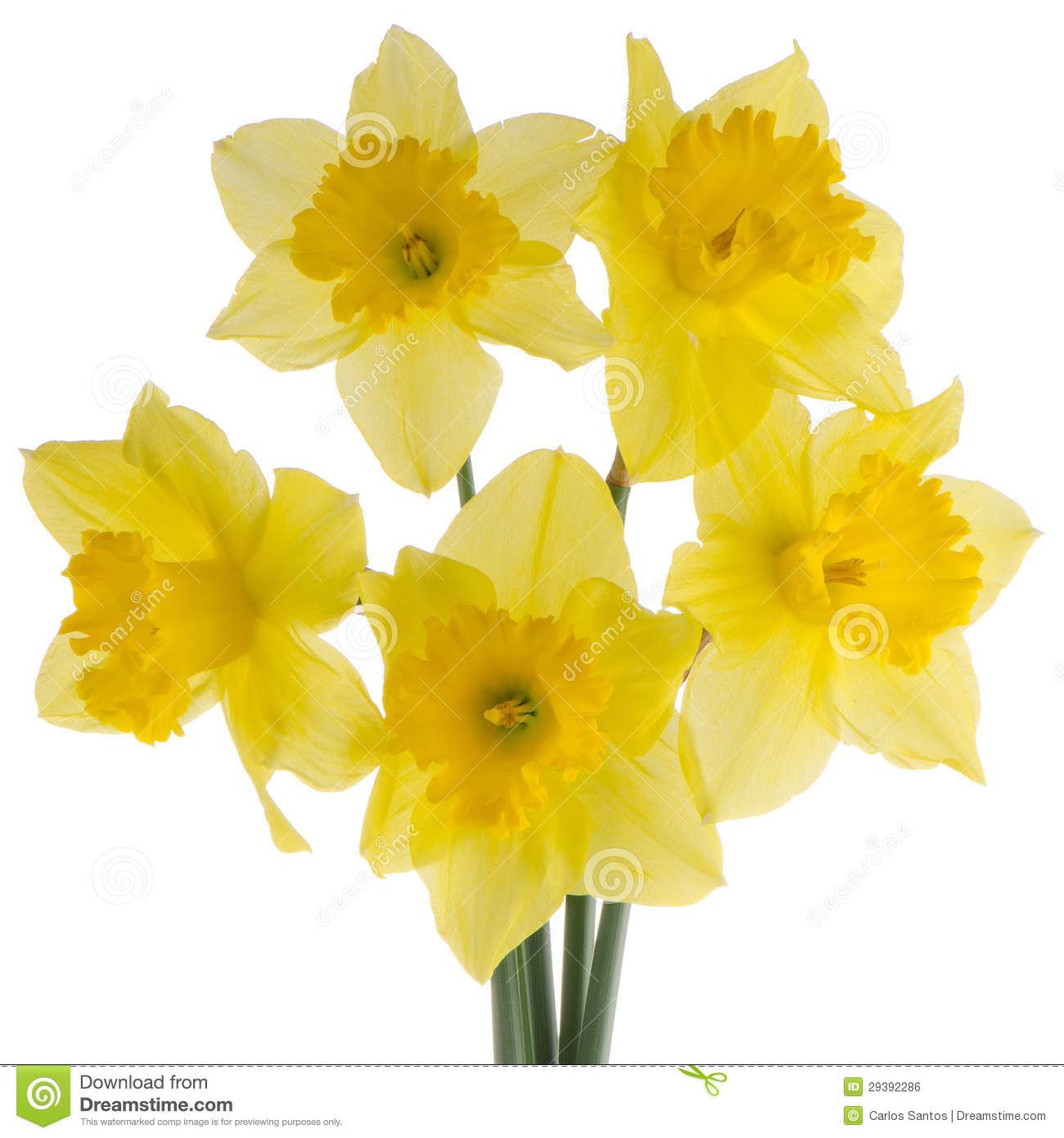 Jonquil Flowers Royalty Free Stock Image Image