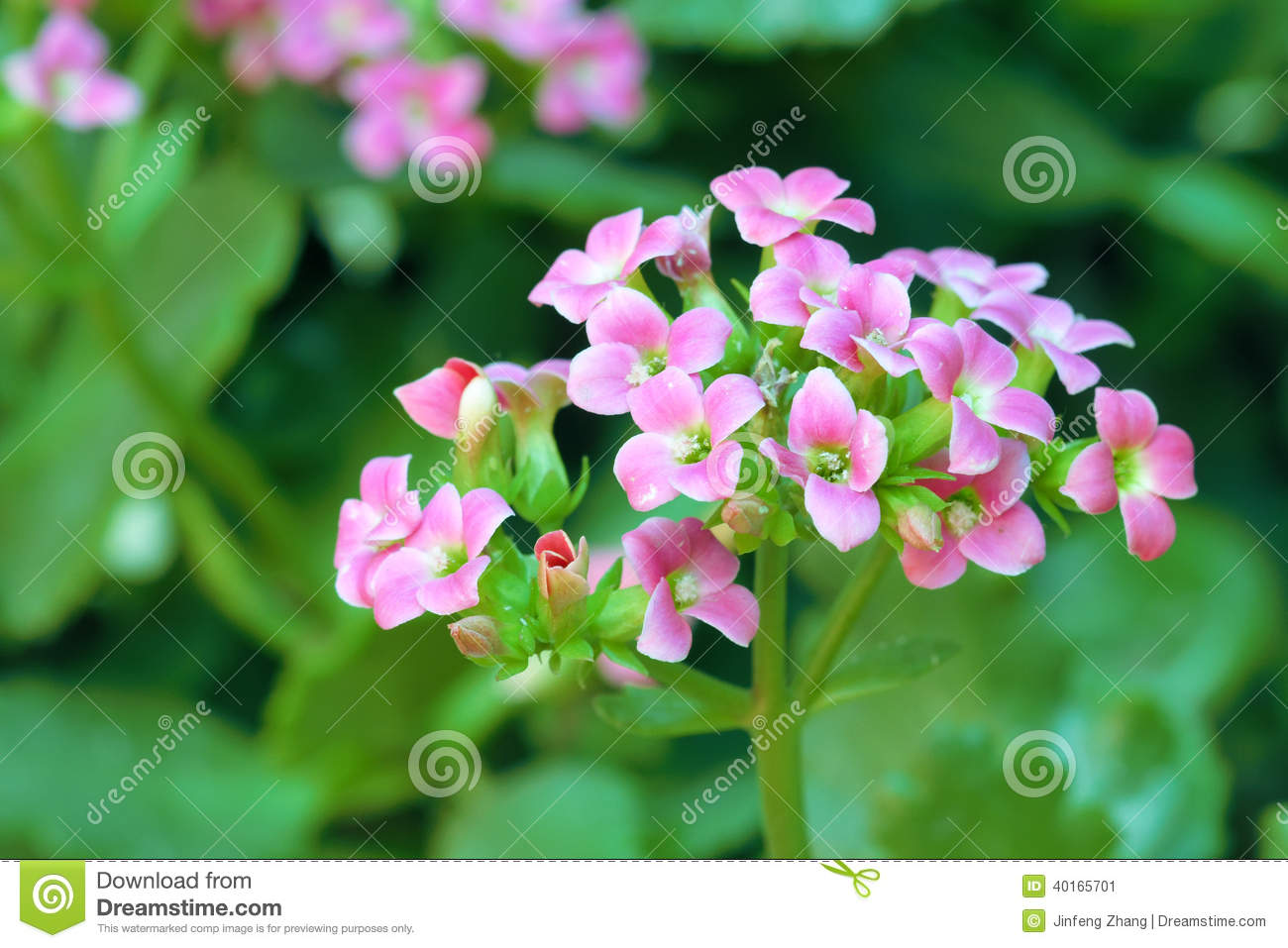 Jonquil Flower Facts images
