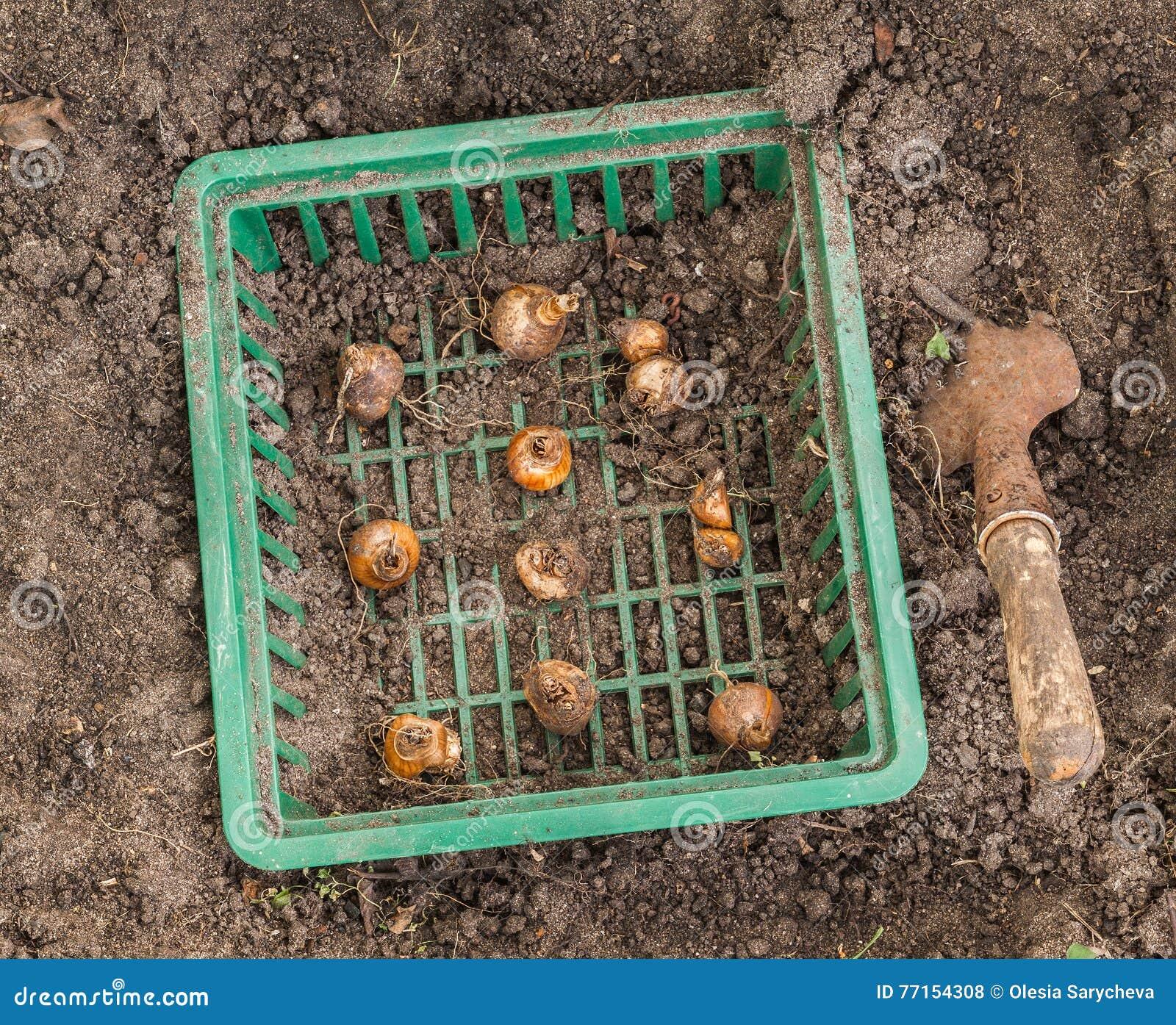 Jonquilles dans le panier pour planter des ampoules