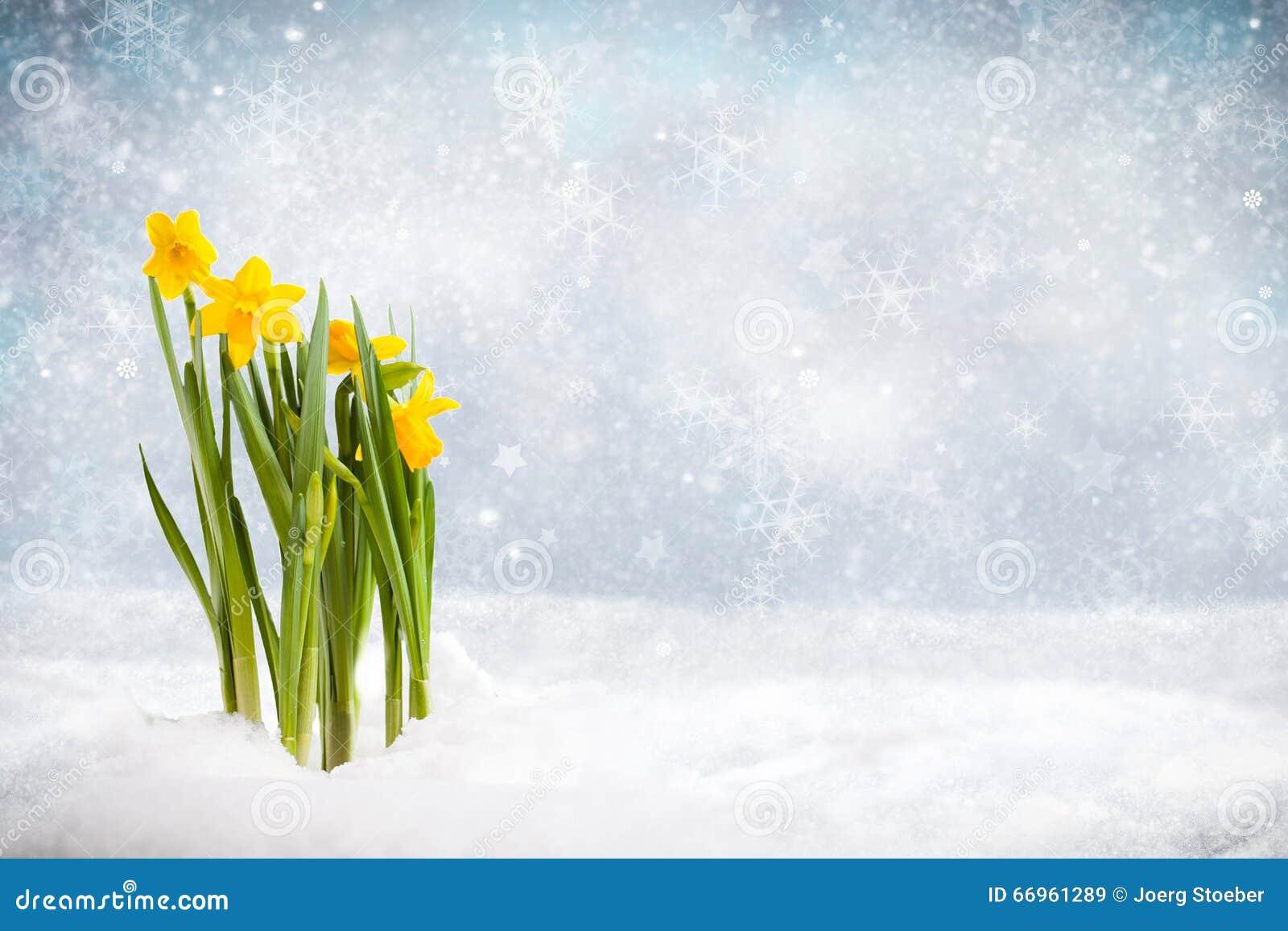 Jonquilles dans une scène d hiver traversant la neige