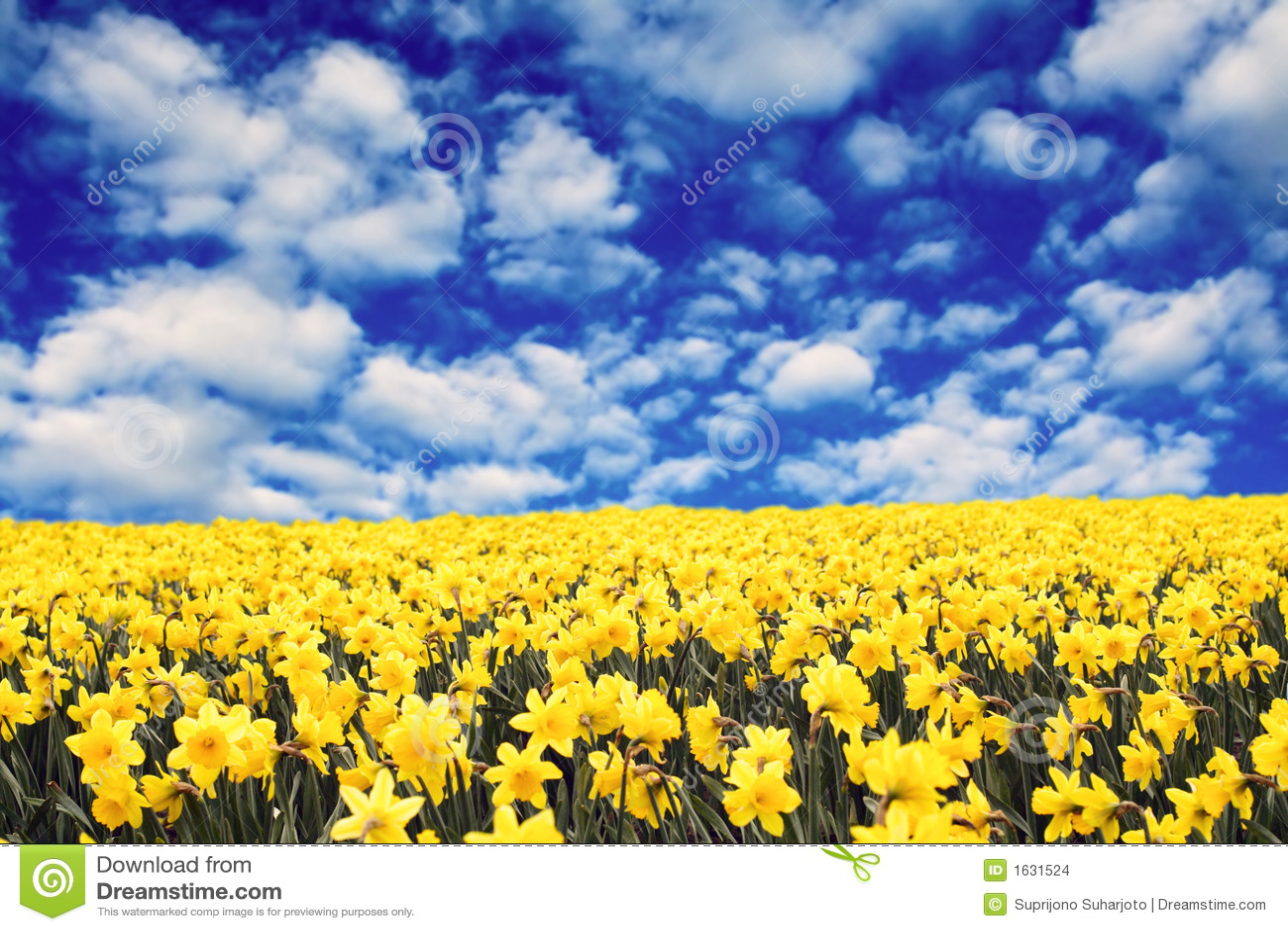 Jonquilles jaunes