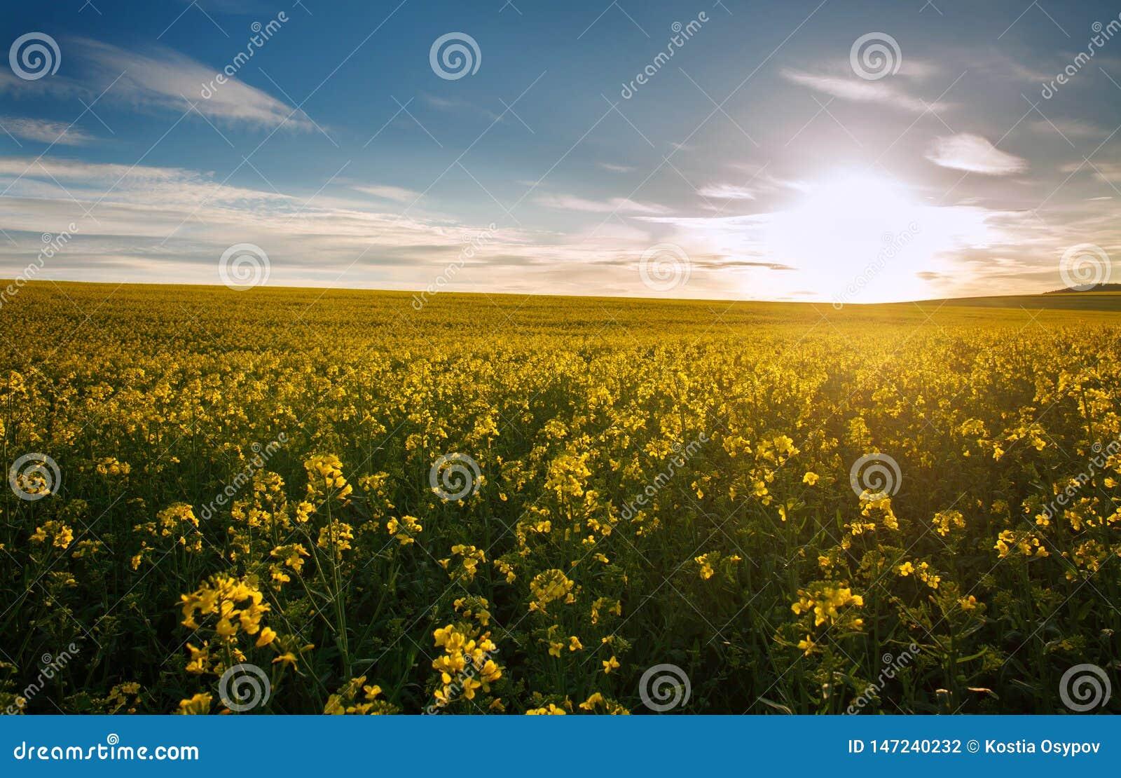 Jordbruks- fält av gula blommor som blommar canola på solnedgånghimmel