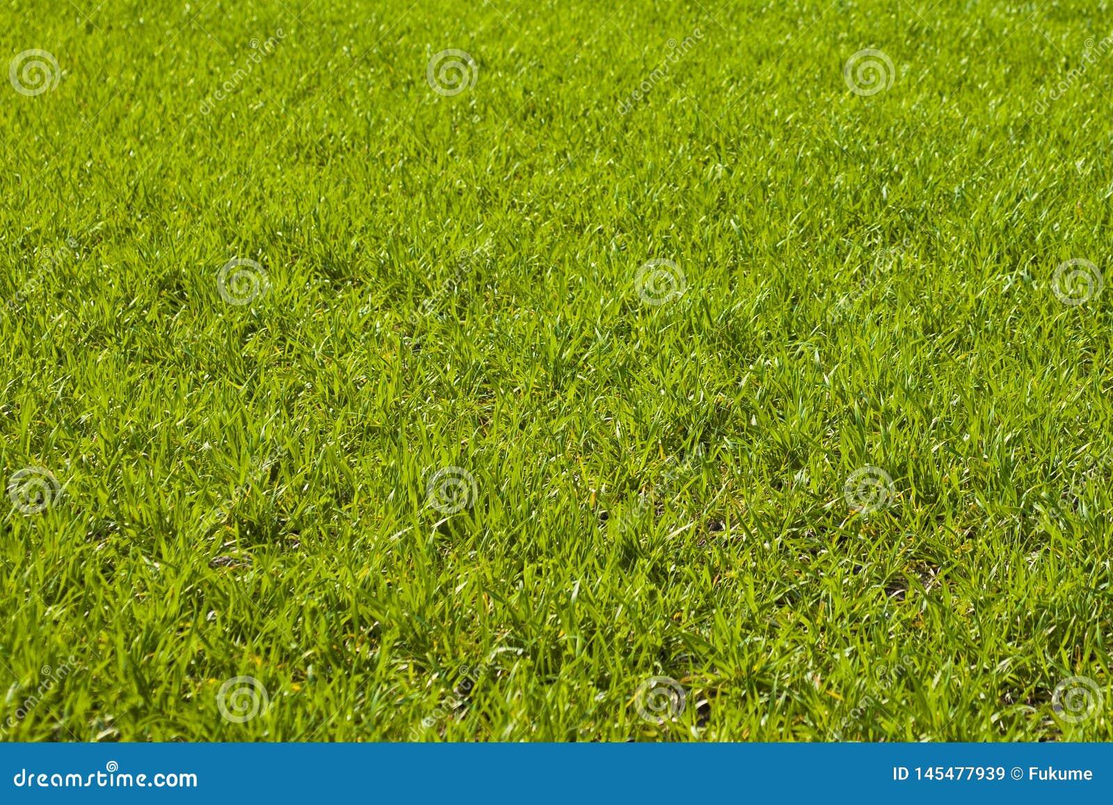 Jordbruks- gr?na f?lt f?r v?r av unga vetesk?rdar gr?svete?kerbakterie