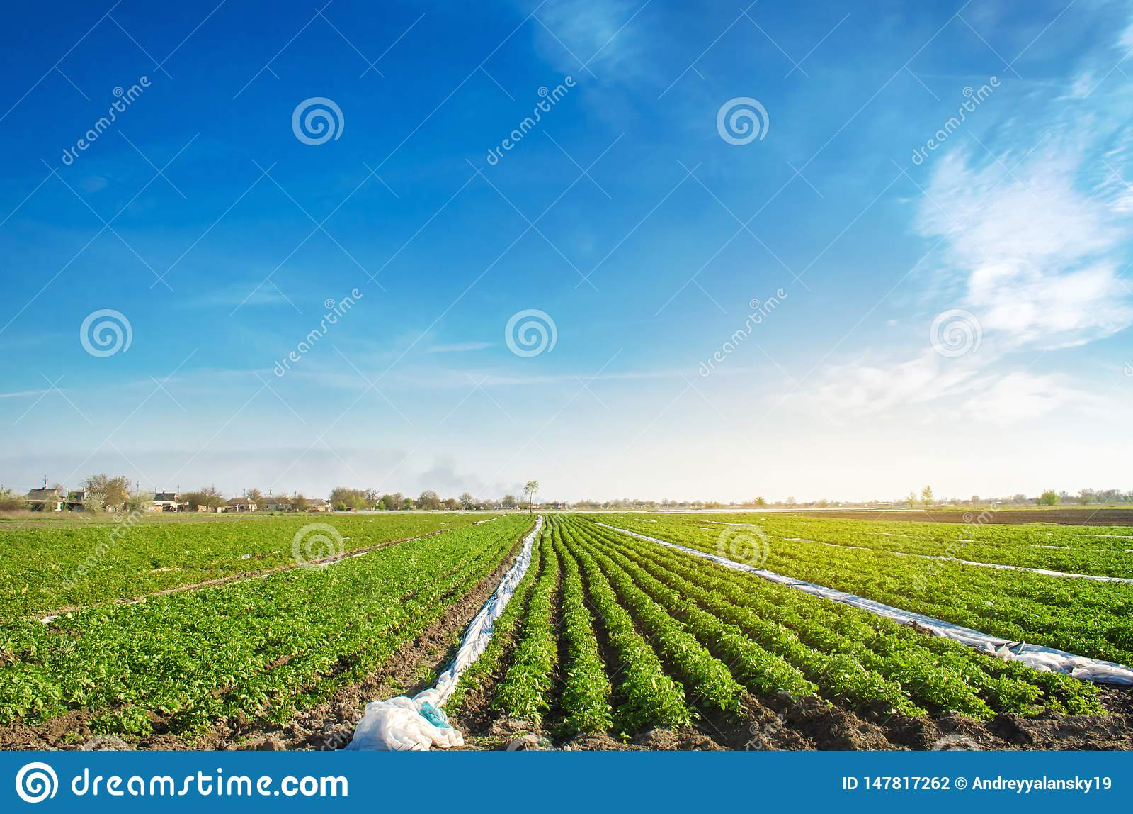 Jordbruks- land med potatiskolonier V?xande organiska gr?nsaker i f?ltet gr?nsakrader Jordbruk lantbruk