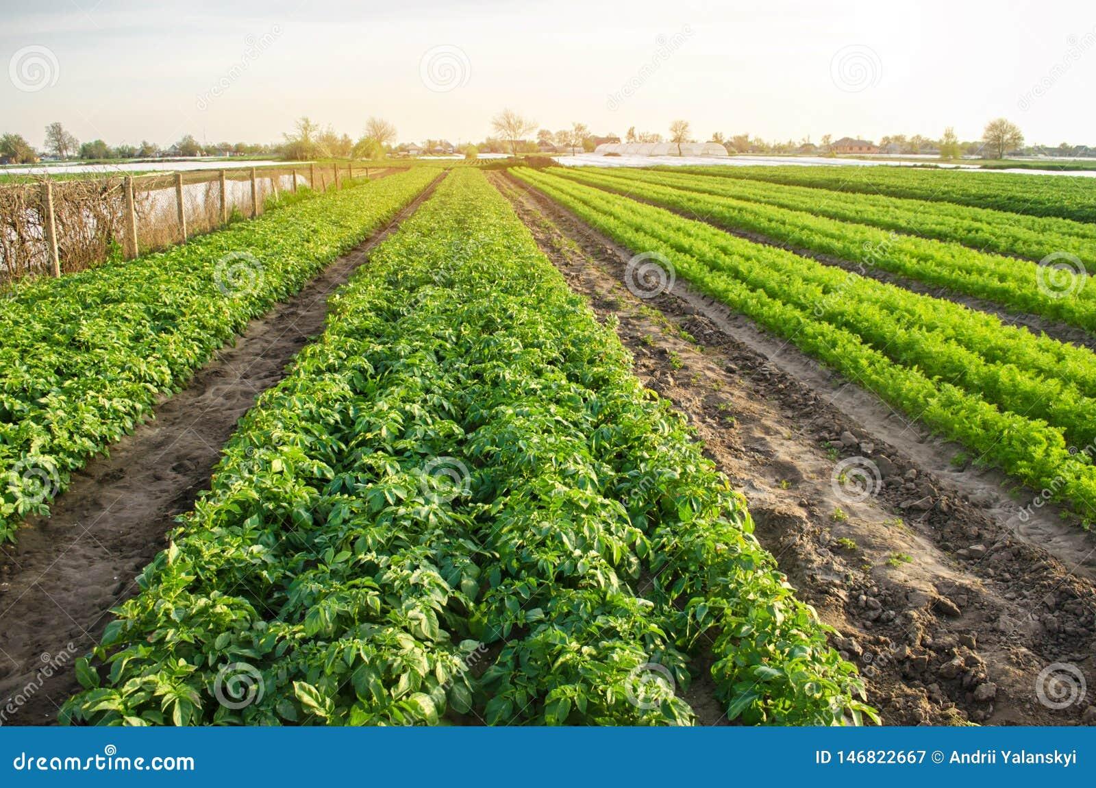 Jordbruks- landskap med grönsakkolonier V?xande organiska gr?nsaker i f?ltet Lantg?rdjordbruk Potatisar och morot