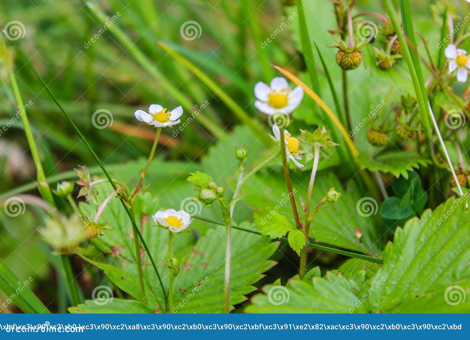 Jordgubbeharnesk Fragà ¡ ria - släkte av perenna örtartade växter av den rosa familjen