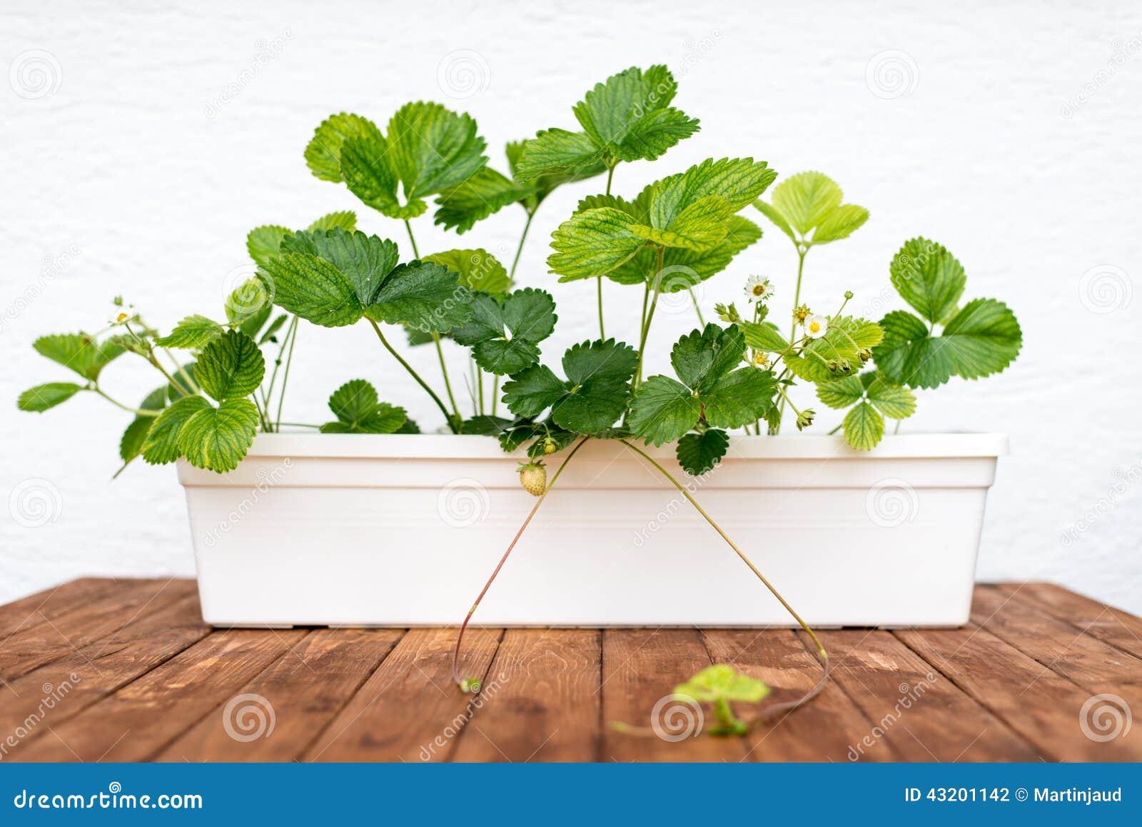 Download Jordgubbeväxt Som Växer I En Blomkruka Arkivfoto - Bild av vitt, växt: 43201142