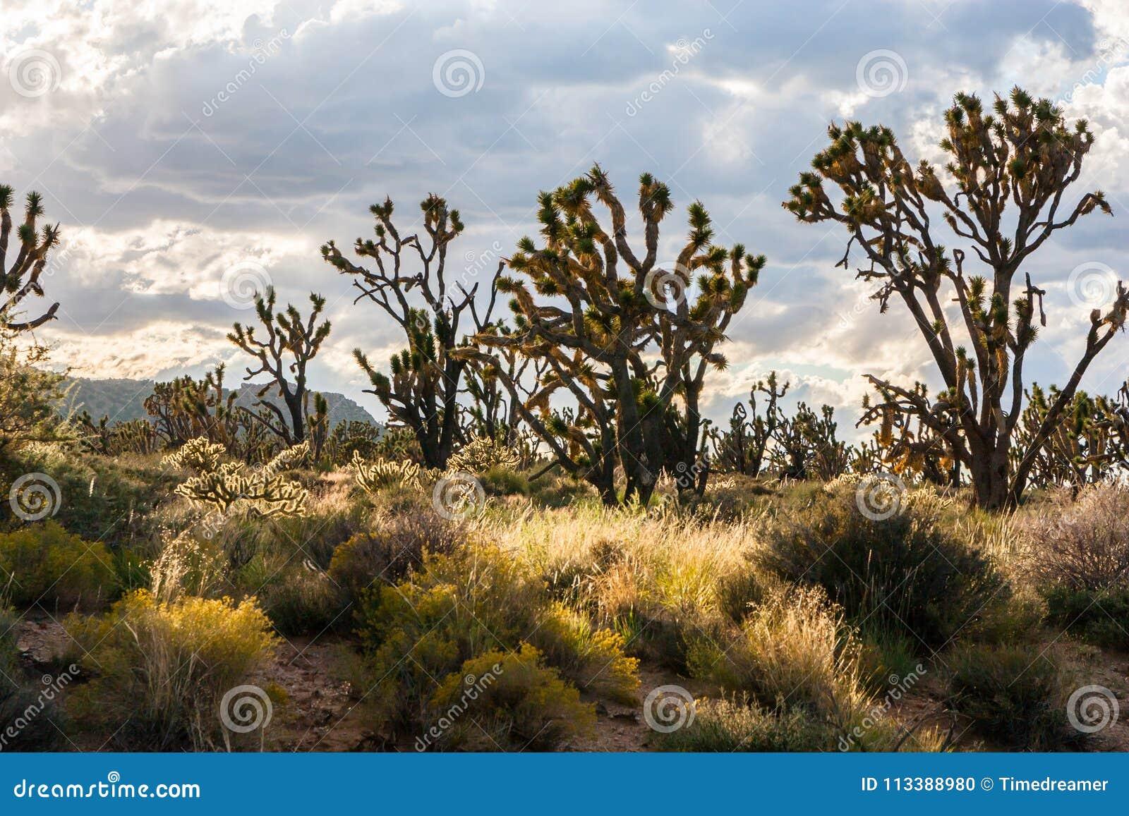 Joshua drzewa w sercu Mojave Krajowa prezerwa