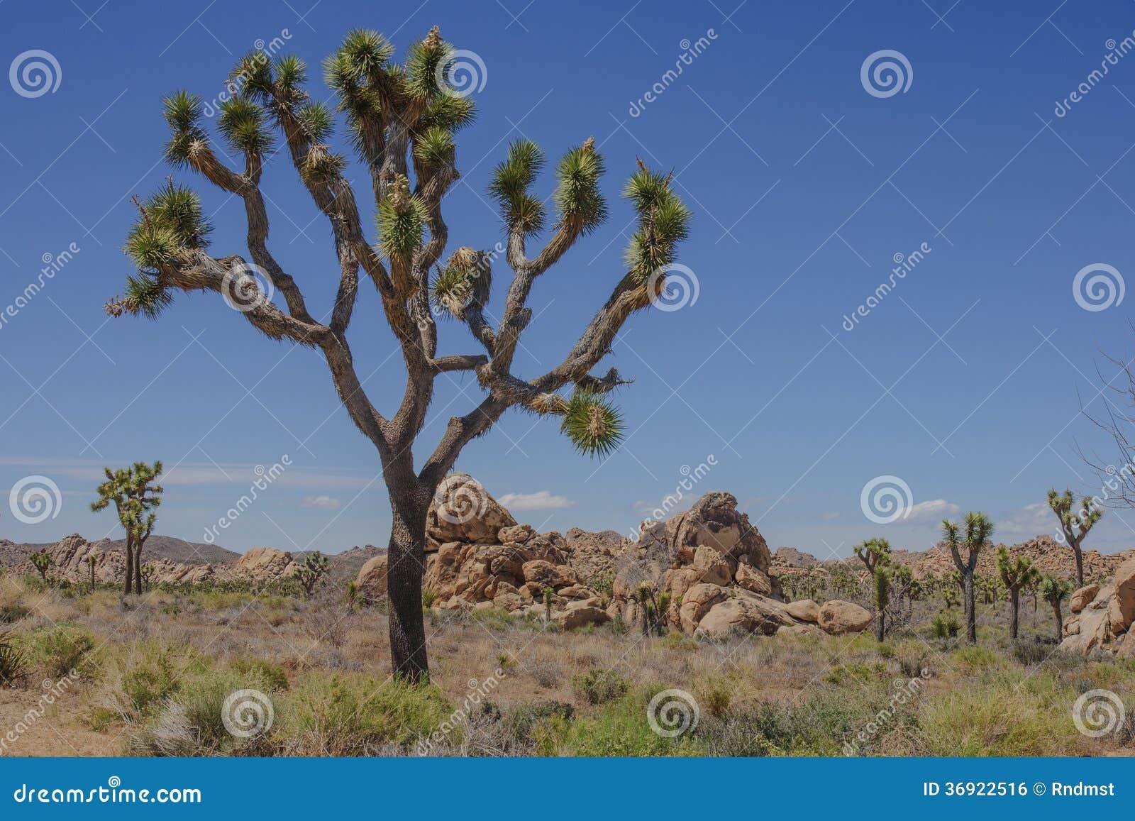 Joshua drzewo NP