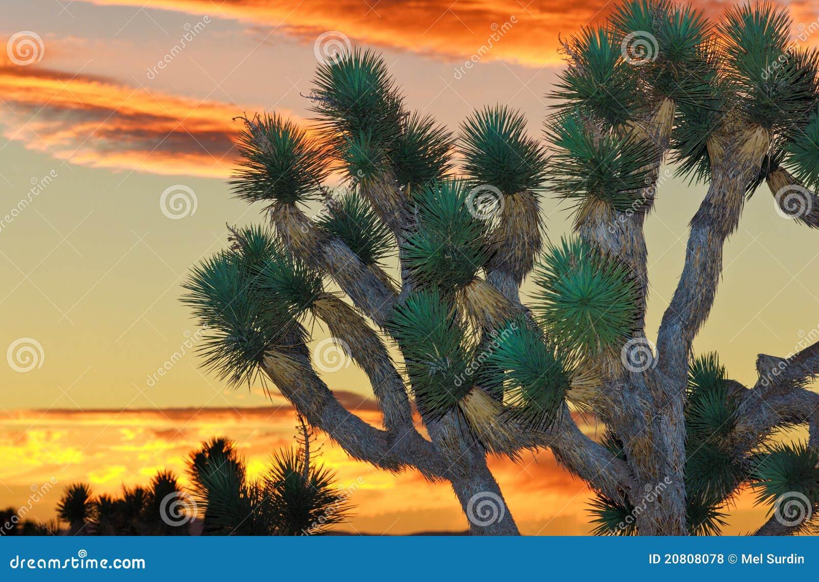 Joshua park narodowy drzewo