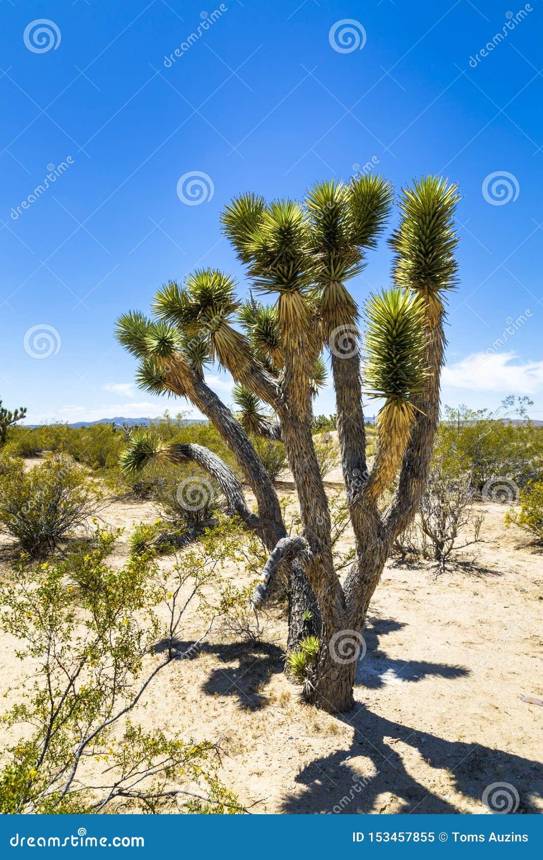 Joshua träd nära Las Vegas, Nevada