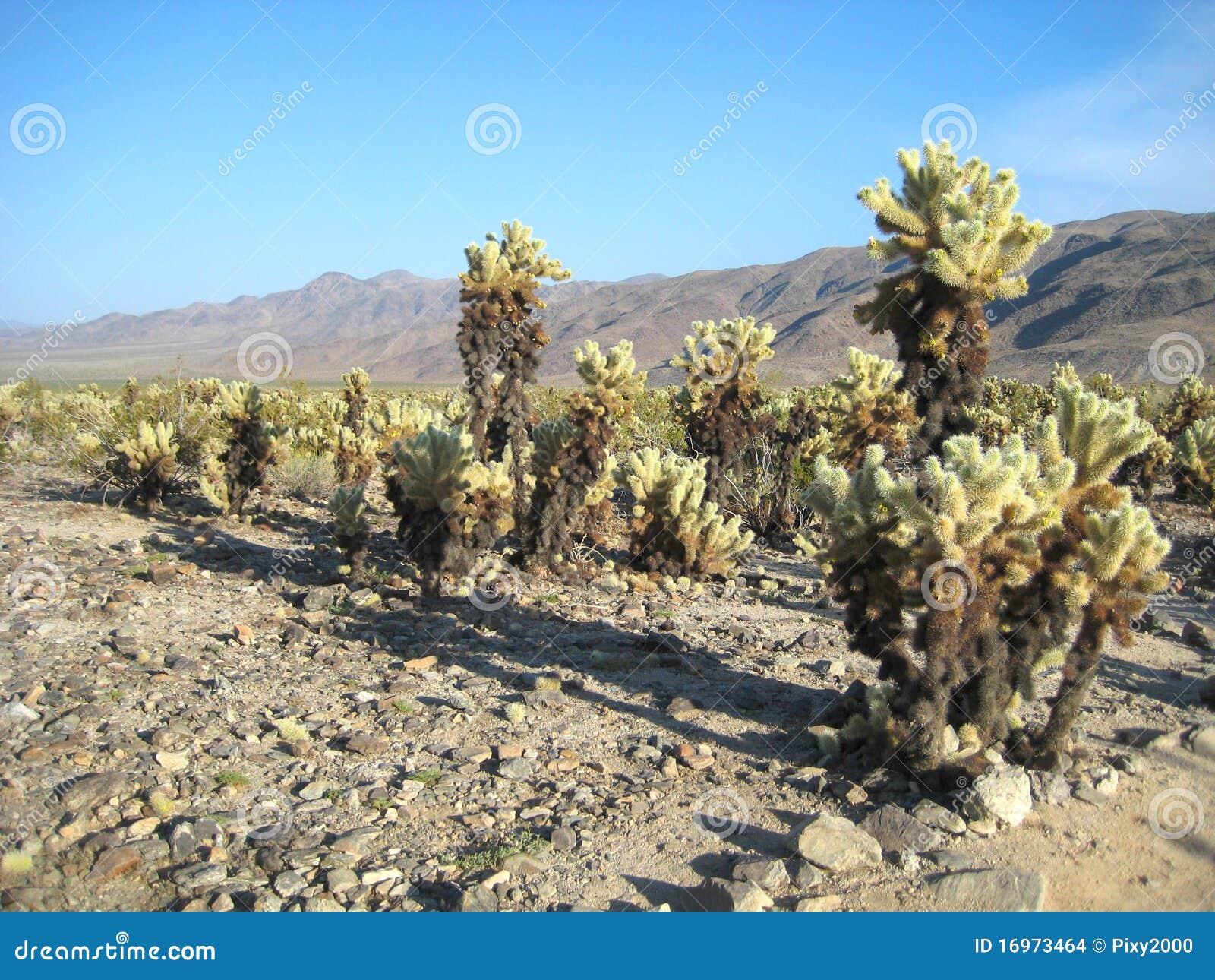 Joshua Tree National Park Cholla Cactus Garden Stock Images Image 16973464