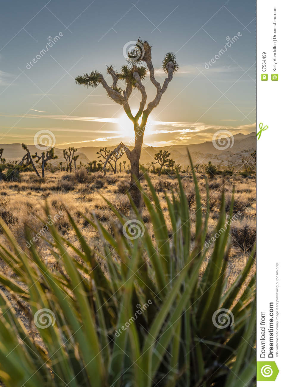 Joshua Tree with Sun Set Through Yucca Plant