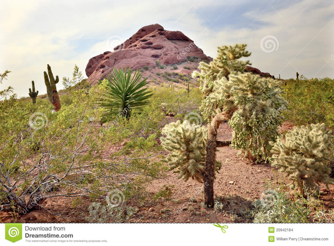 Joshua Trees Desert Botanical Garden Phoenix Stock Photo - Image of ...