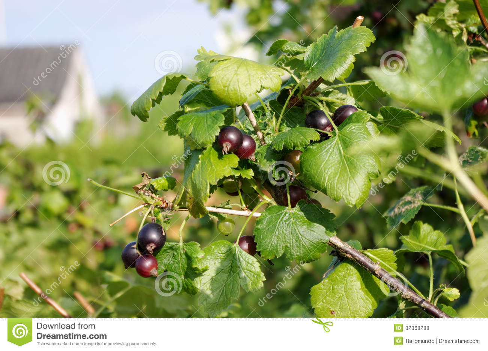 Buy Blackcurrant Bush