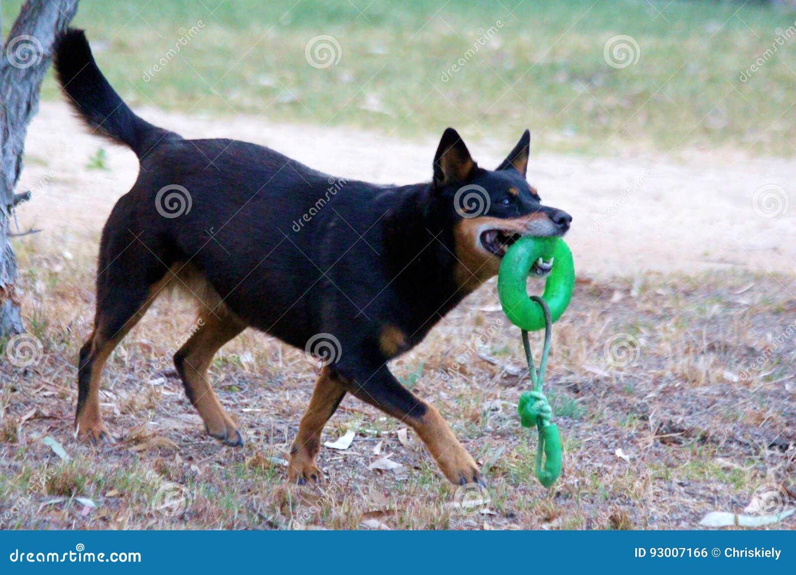 Jouer de chien de Kelpie