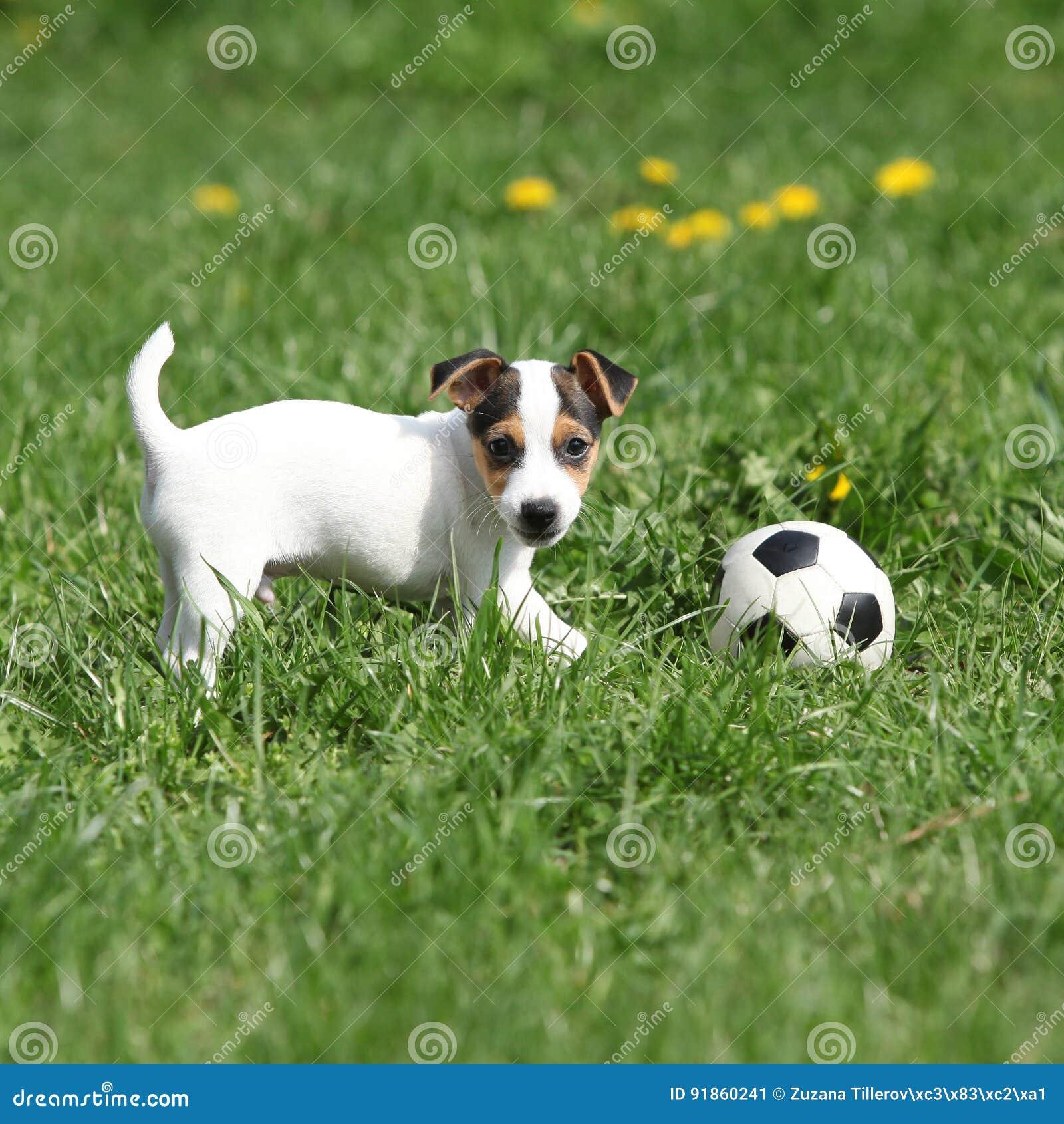 Jouer de chiot de Jack Russell Terrier