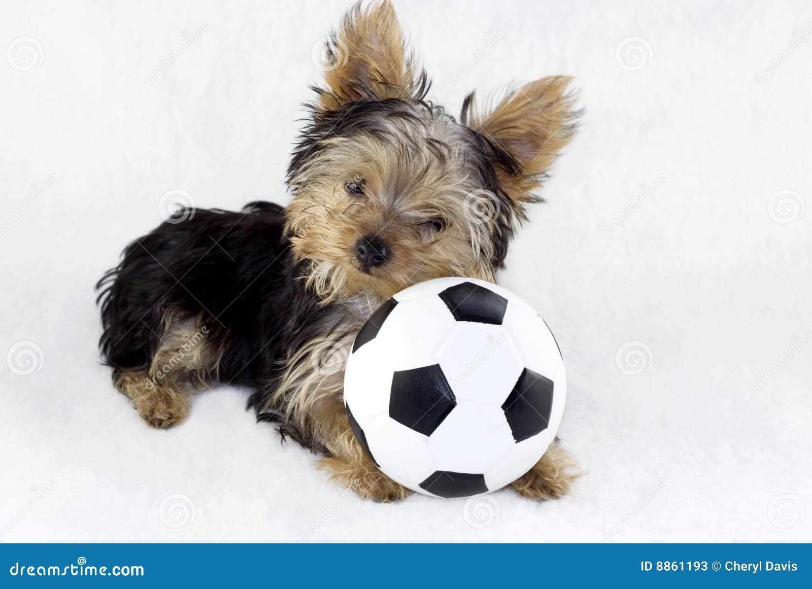 jouet yorkshire de chien terrier du football de chiot de bille image stock image du brun race. Black Bedroom Furniture Sets. Home Design Ideas