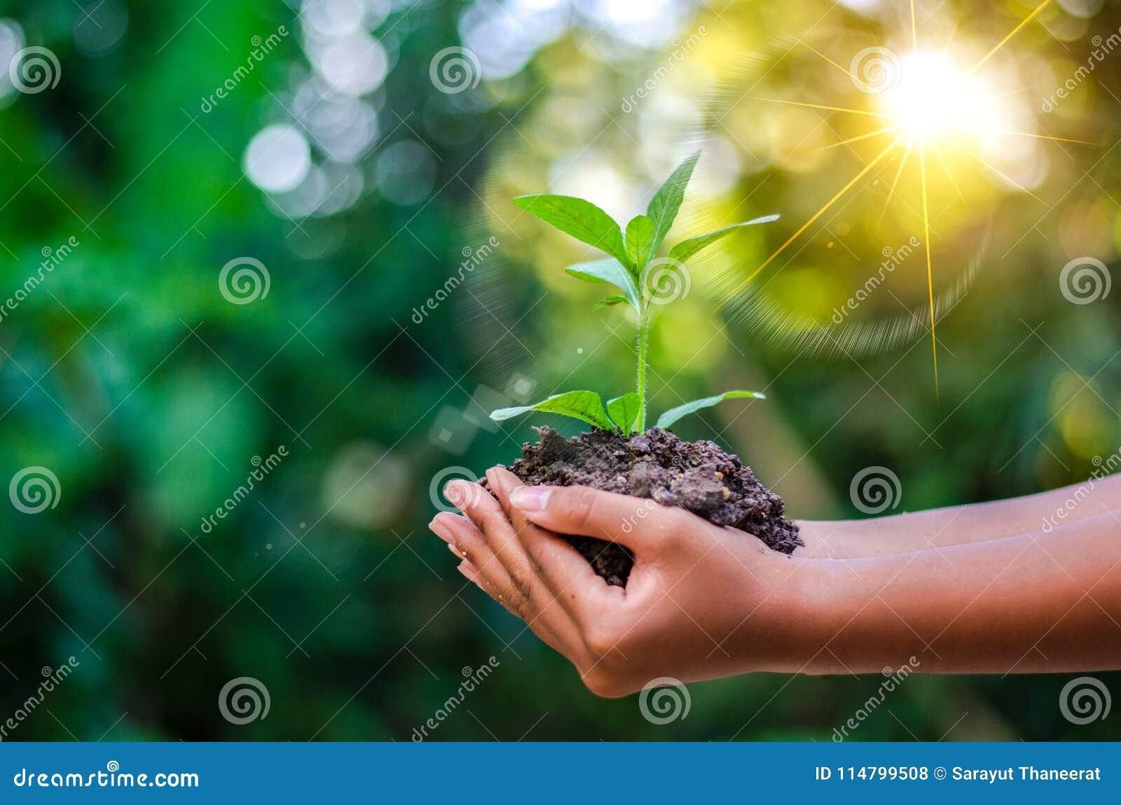 Jour de terre dans les mains des arbres cultivant des jeunes plantes Bokeh verdissent la main femelle de fond tenant l arbre sur