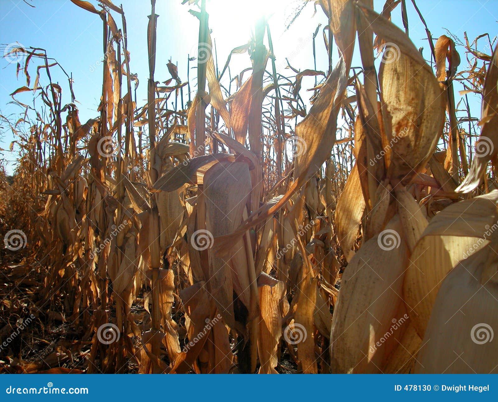 Jour de zone de maïs