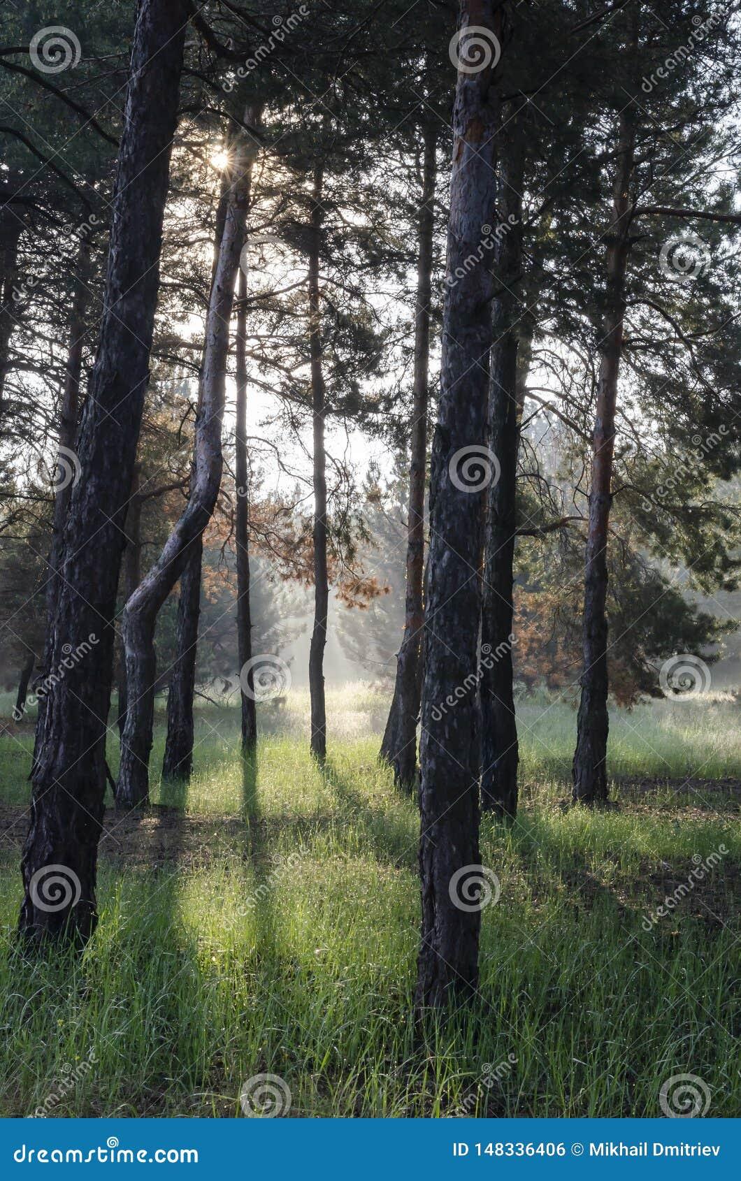 Jour ensoleillé de ressort dans une forêt de pin