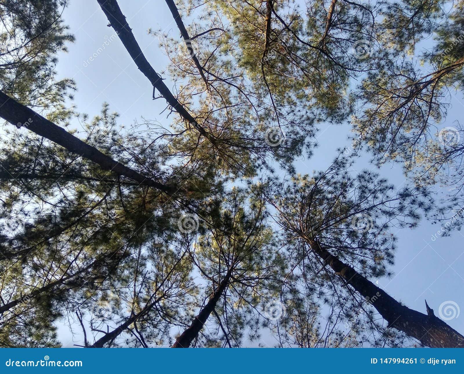 Jour heureux dans la forêt de pin