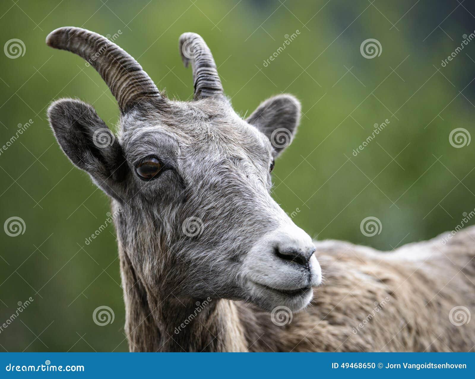 Joven de las ovejas de Bighorn