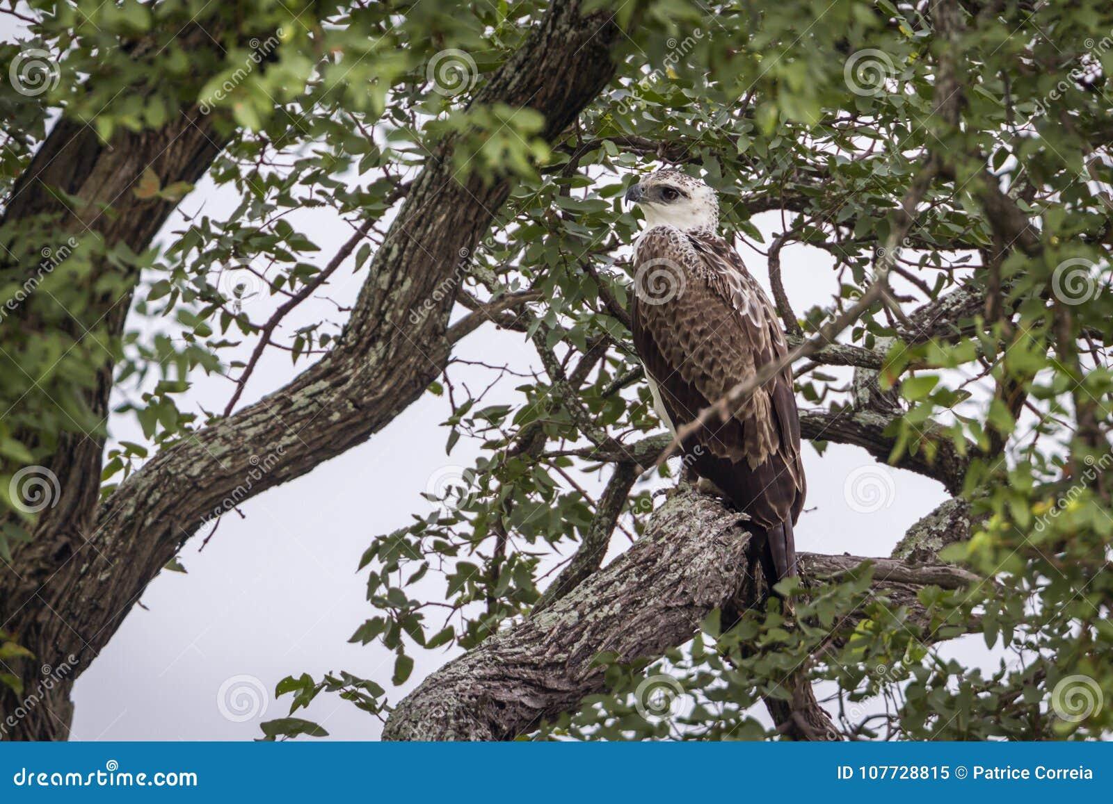 Joven marcial de Eagle en el parque nacional de Kruger, Suráfrica