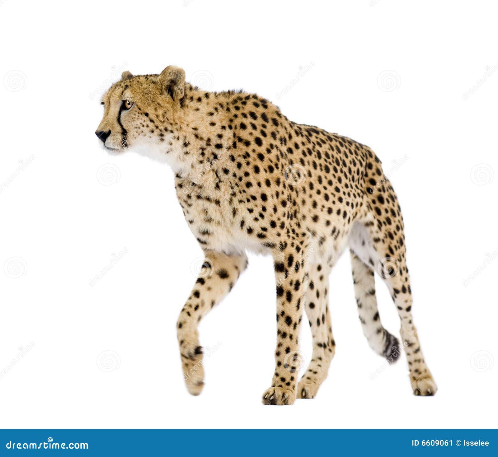 Jubatus de guépard d acinonyx