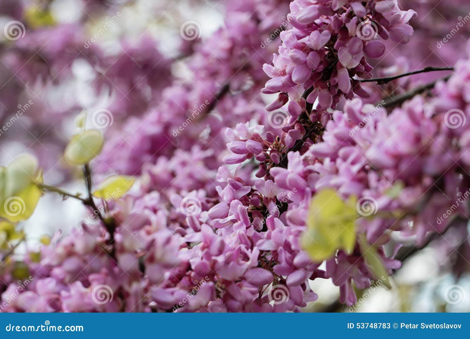 Judas Tree Flower Stock Image Image Of Color Foliage