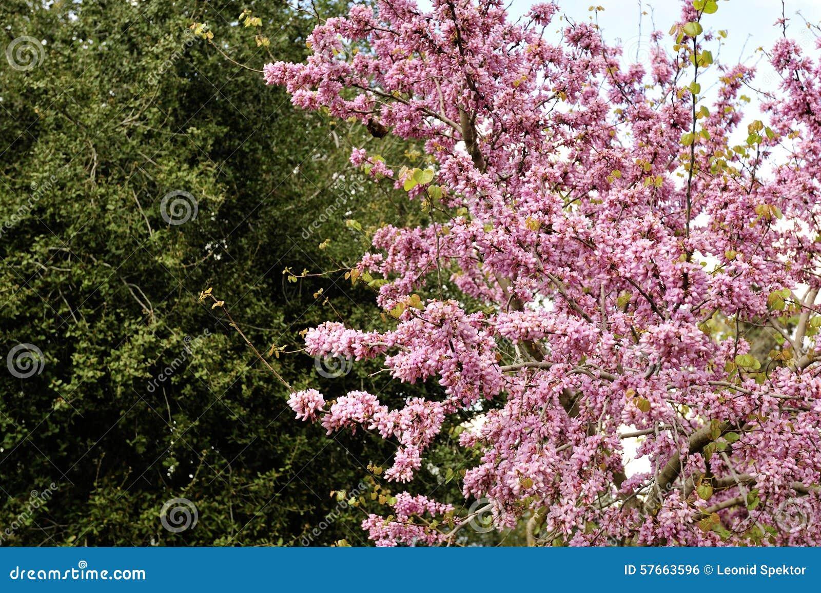 Judaszowego drzewa wiosny okwitnięcie