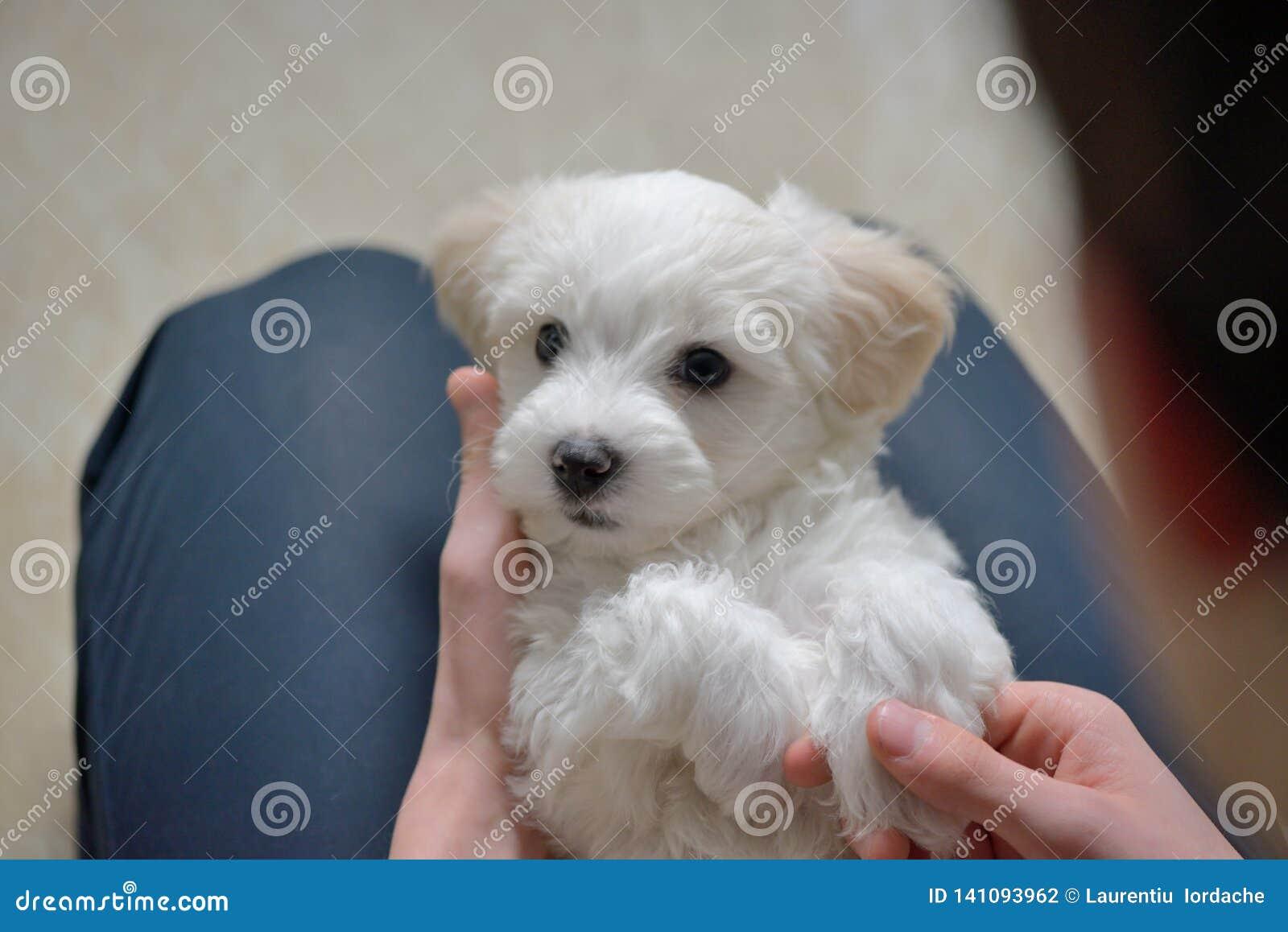 Juego adolescente del muchacho con el perro maltés del perrito