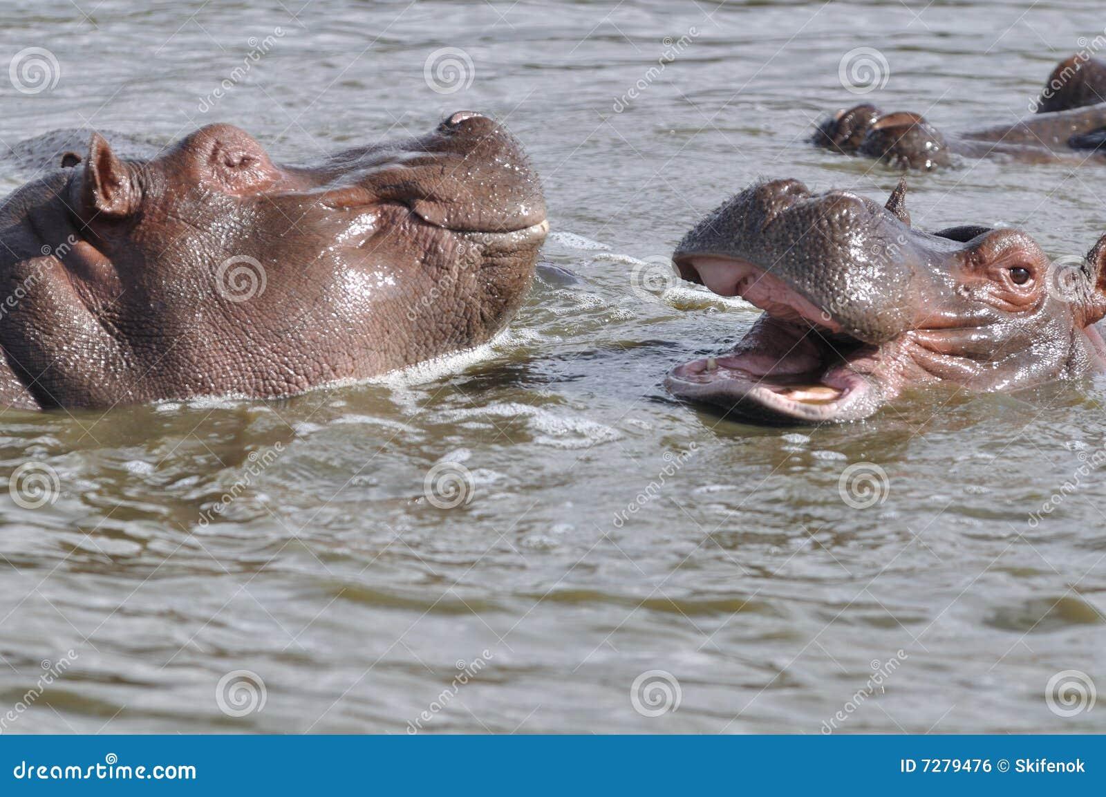 Jugar hippopotams
