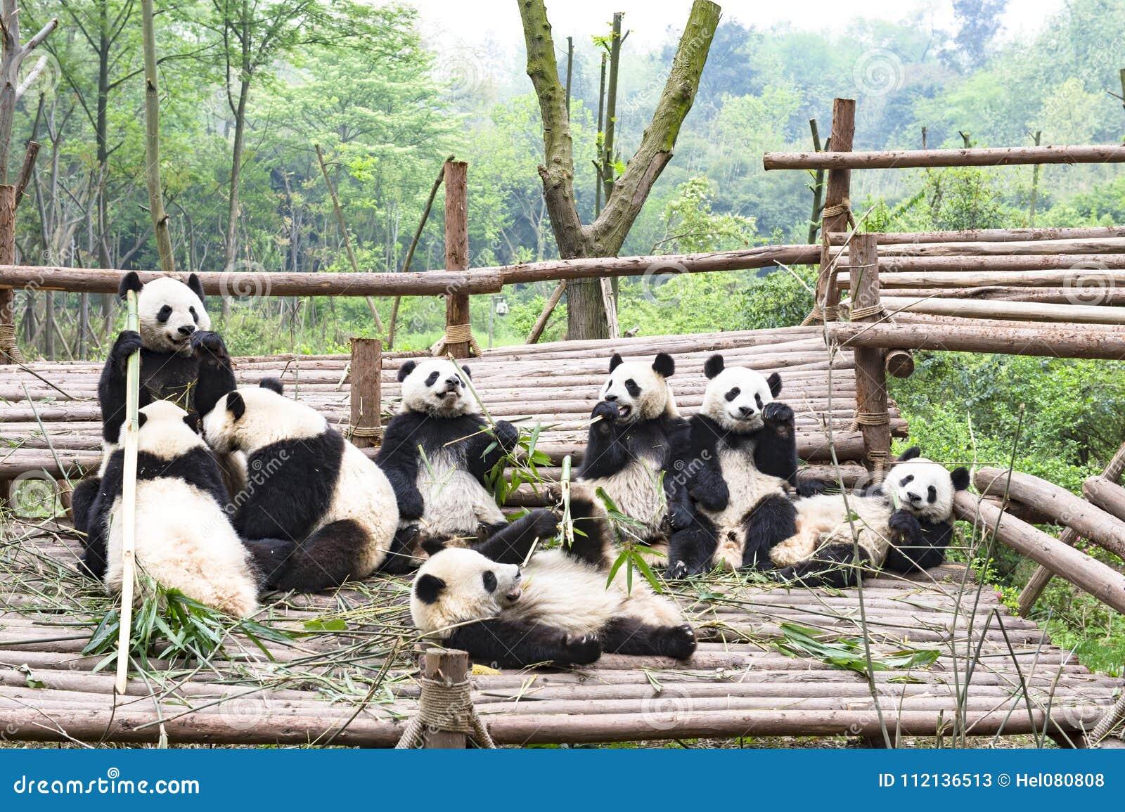 Jugar a Panda Bears, Panda Breeding Center, Chengdu, China