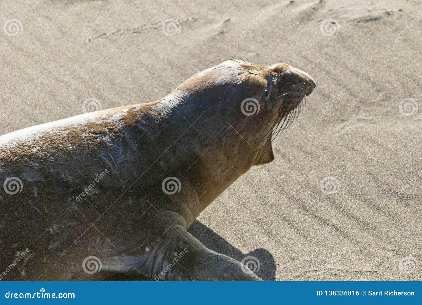 Jugendlicher männlicher Seeelefant auf einem Kalifornien-Strand