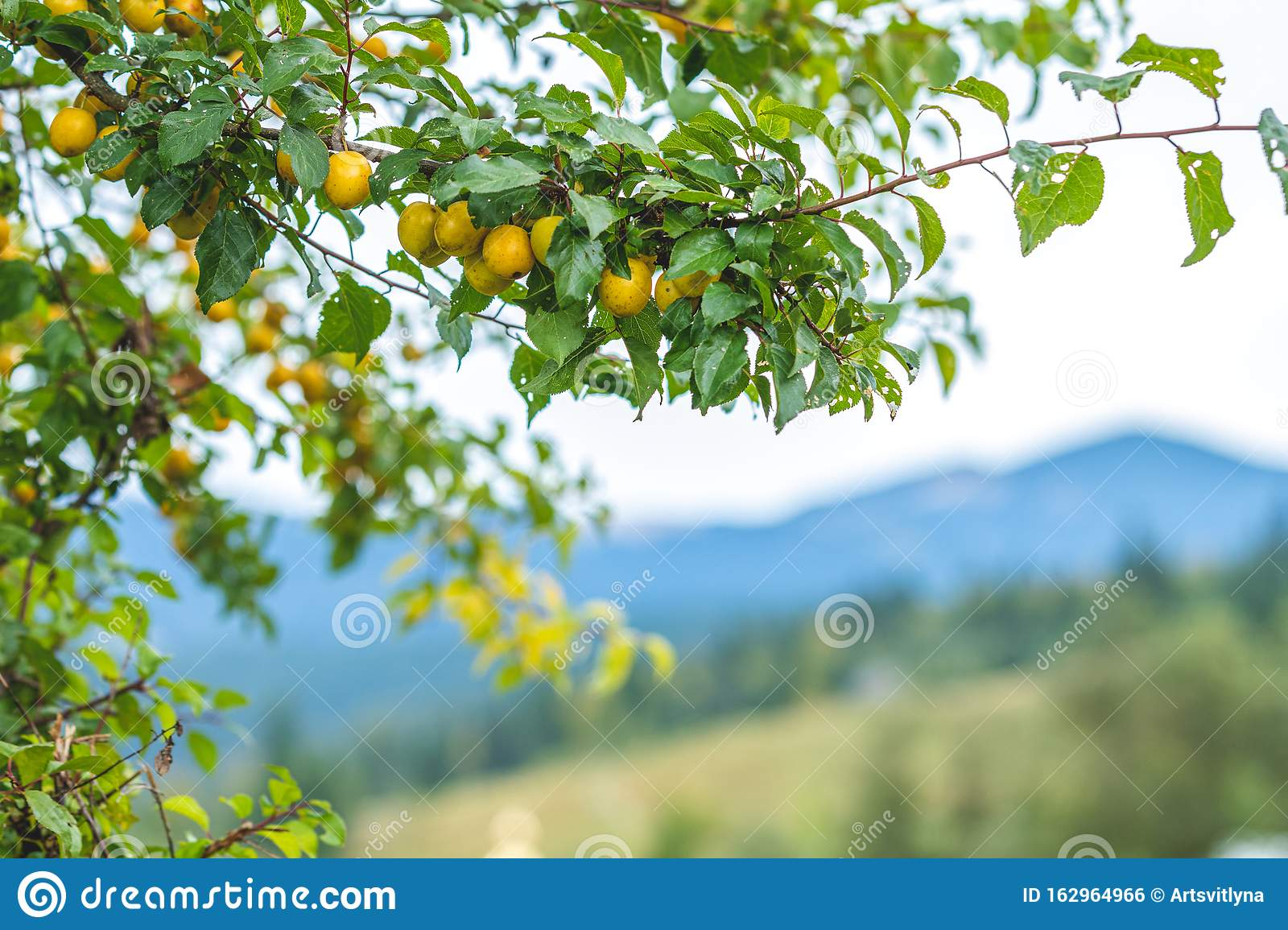 Juicy Beautiful Amazing Nice Cherry Plum Myrobalan Plum Fruit On
