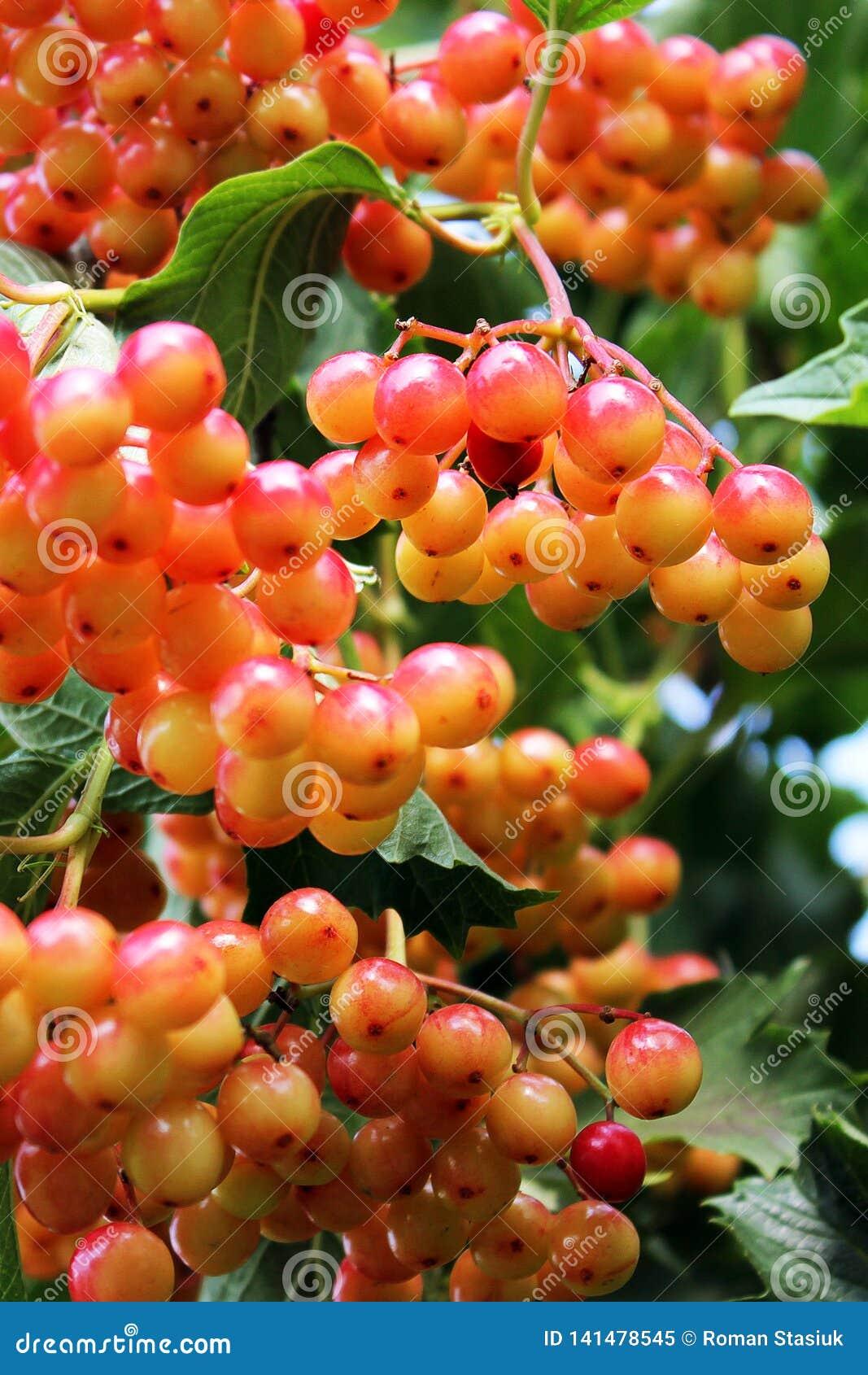 Juicy viburnum on the tree