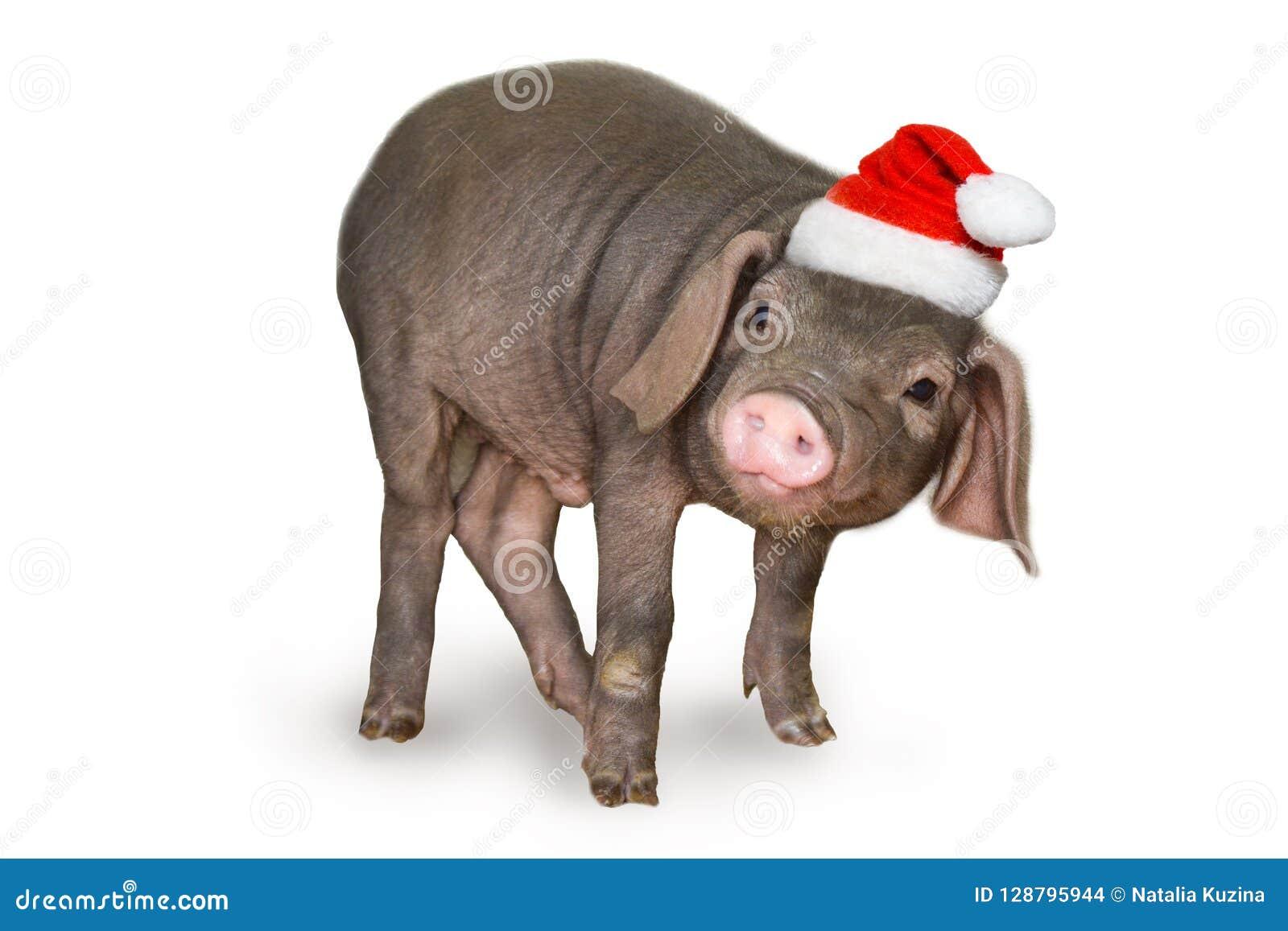 Jul och kort för nytt år med det gulliga nyfödda spädgrissvinet i den santa hatten som isoleras på vit bakgrund Garneringsymbol a