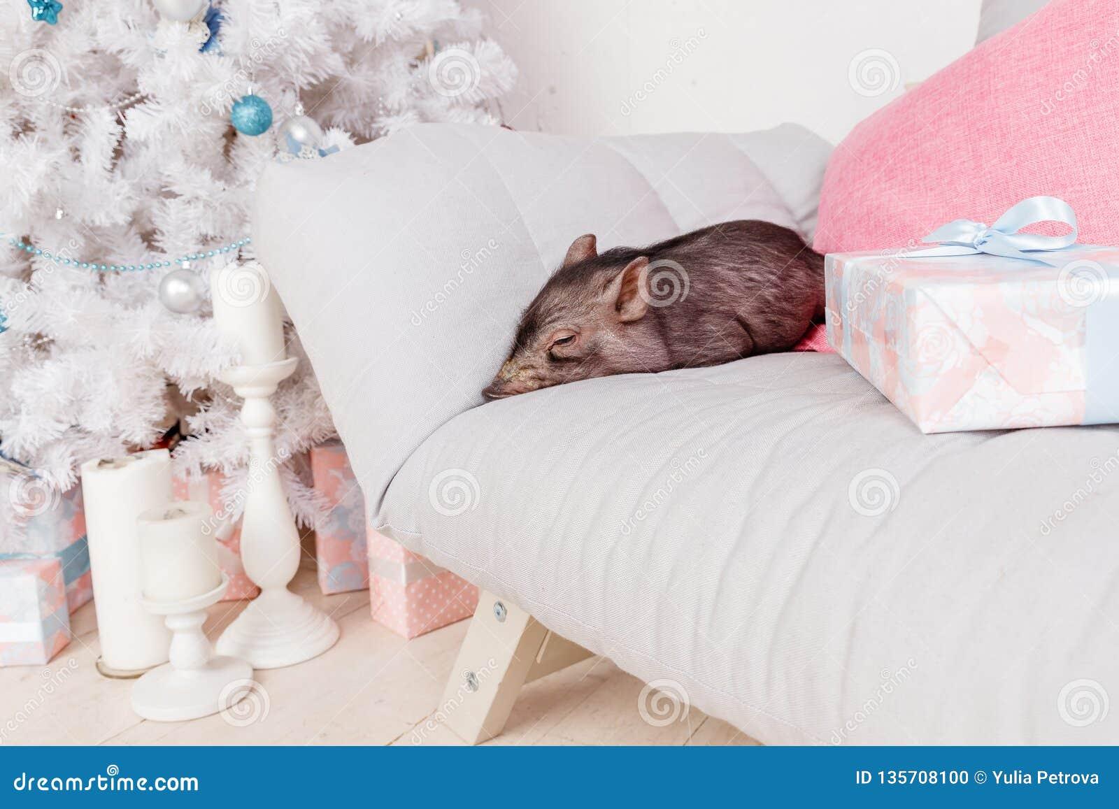 Jul och kort för nytt år med det gulliga nyfödda svarta svinet på soffan Garneringsymbol av årskineskalendern