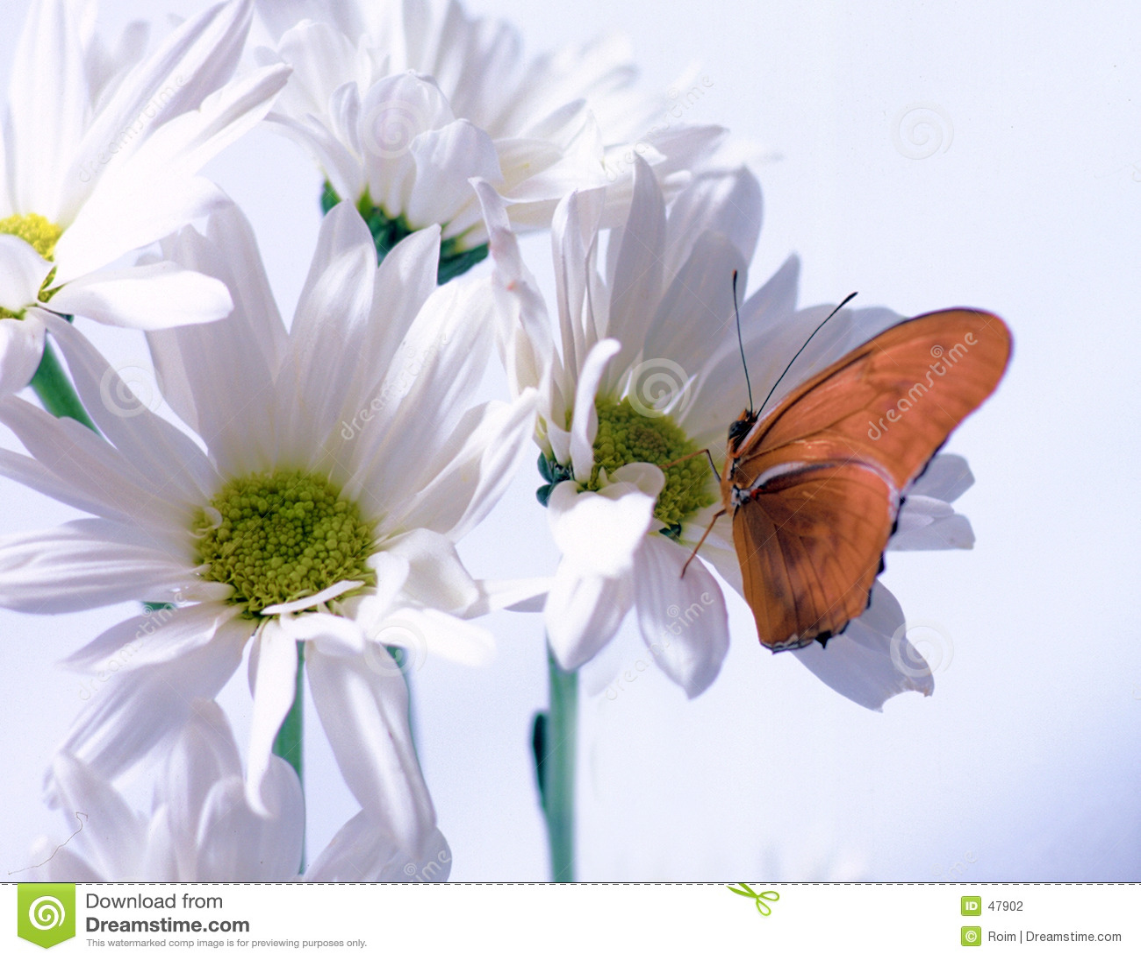 Julia motyla