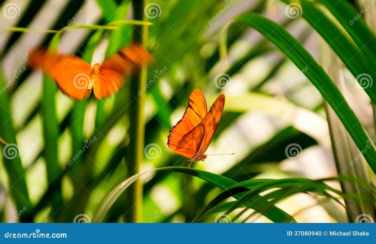 Download Julia motyle zdjęcie stock. Obraz złożonej z ogród, przyroda - 37080940