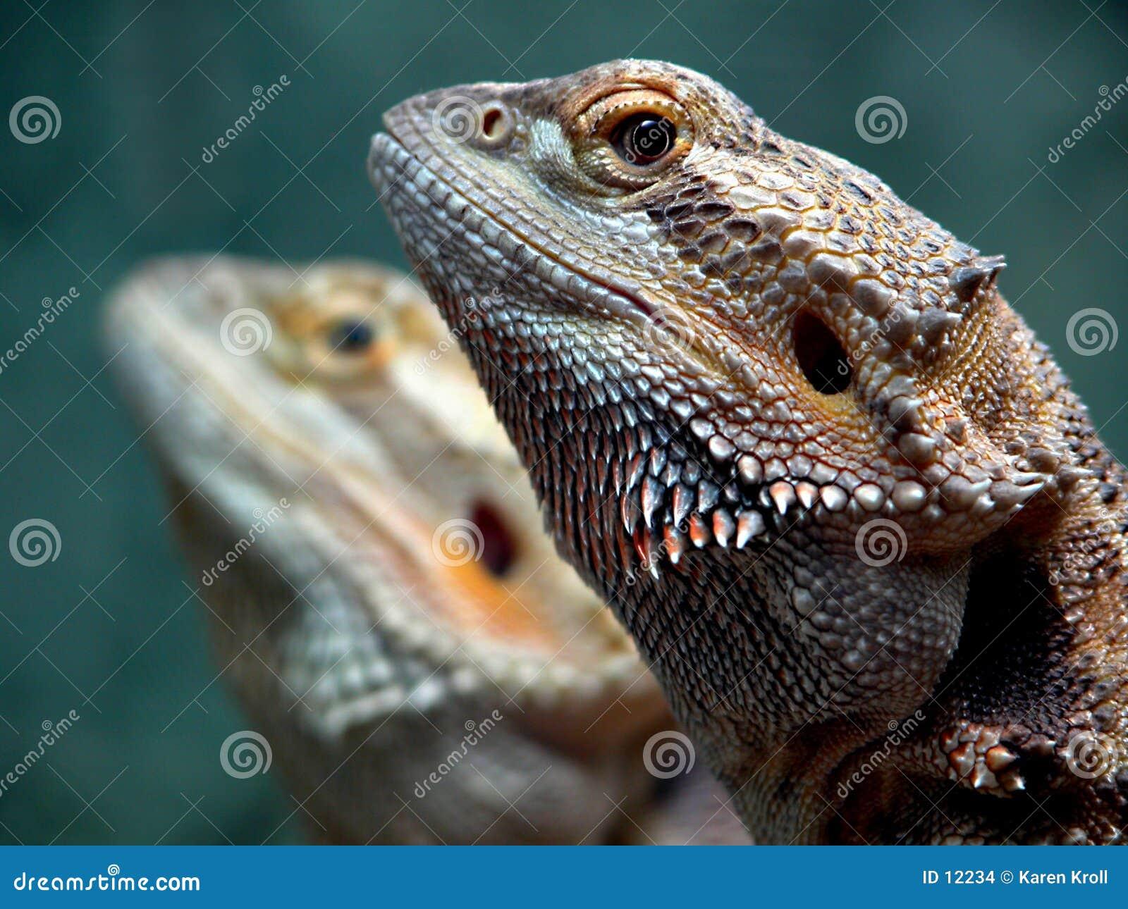 Jumeaux de dragon