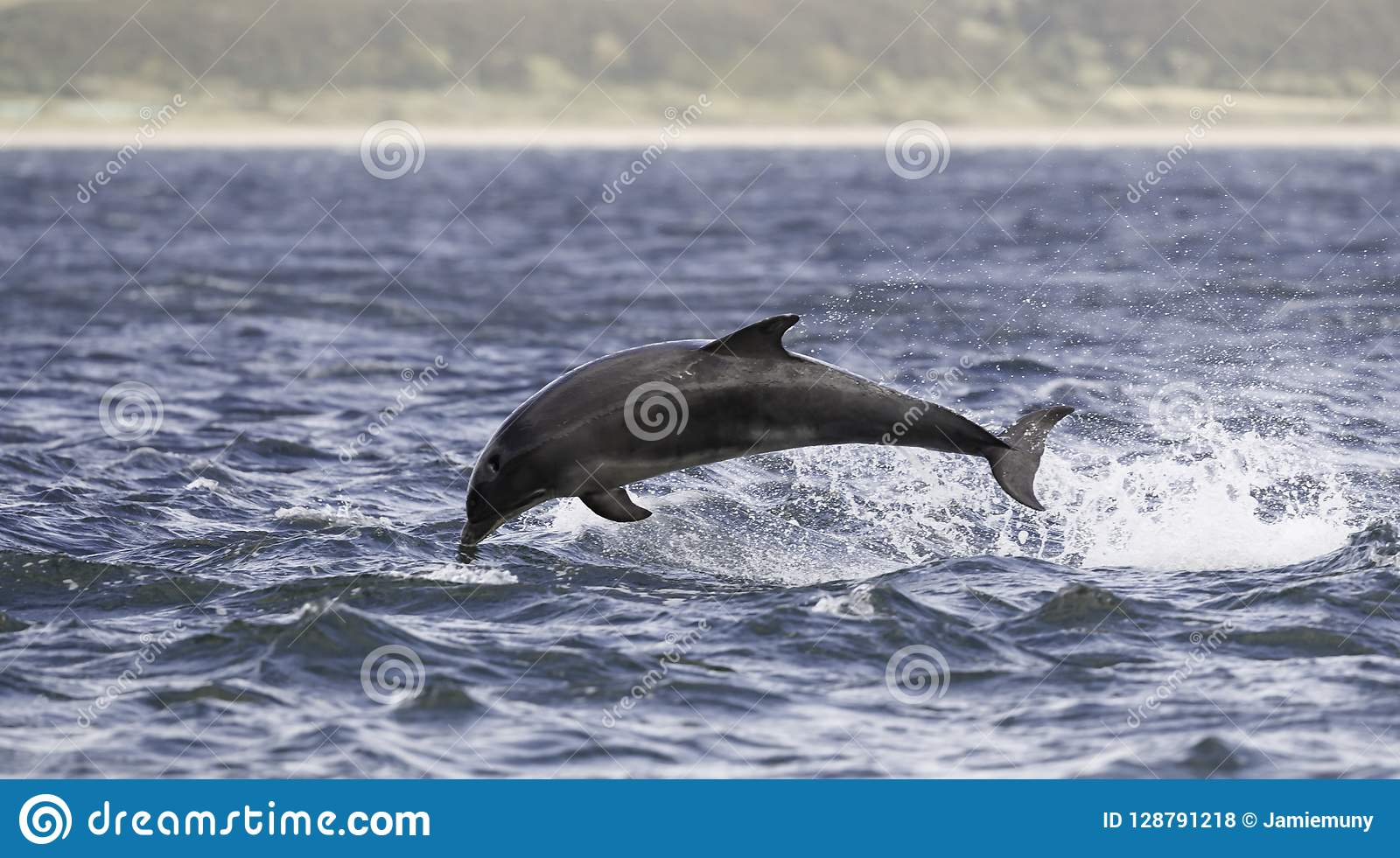 Jumping breaching Wild bottlenose dolphin tursiops truncatus.