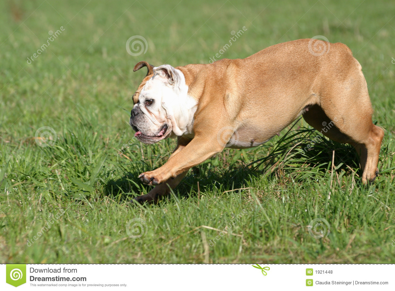 jumping bulldog stock photo image of meadow outside